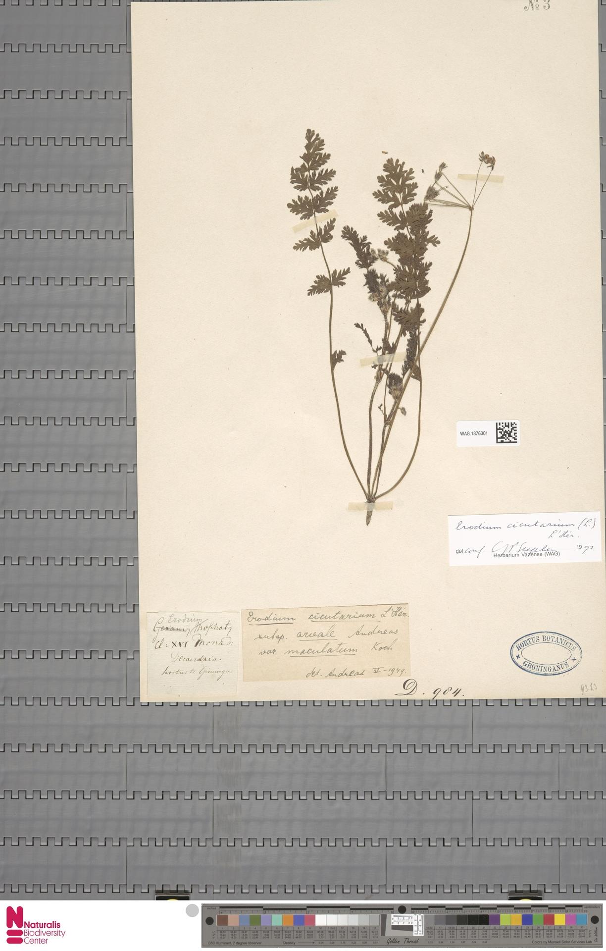 WAG.1876301   Erodium cicutarium (L.) L'Hér.