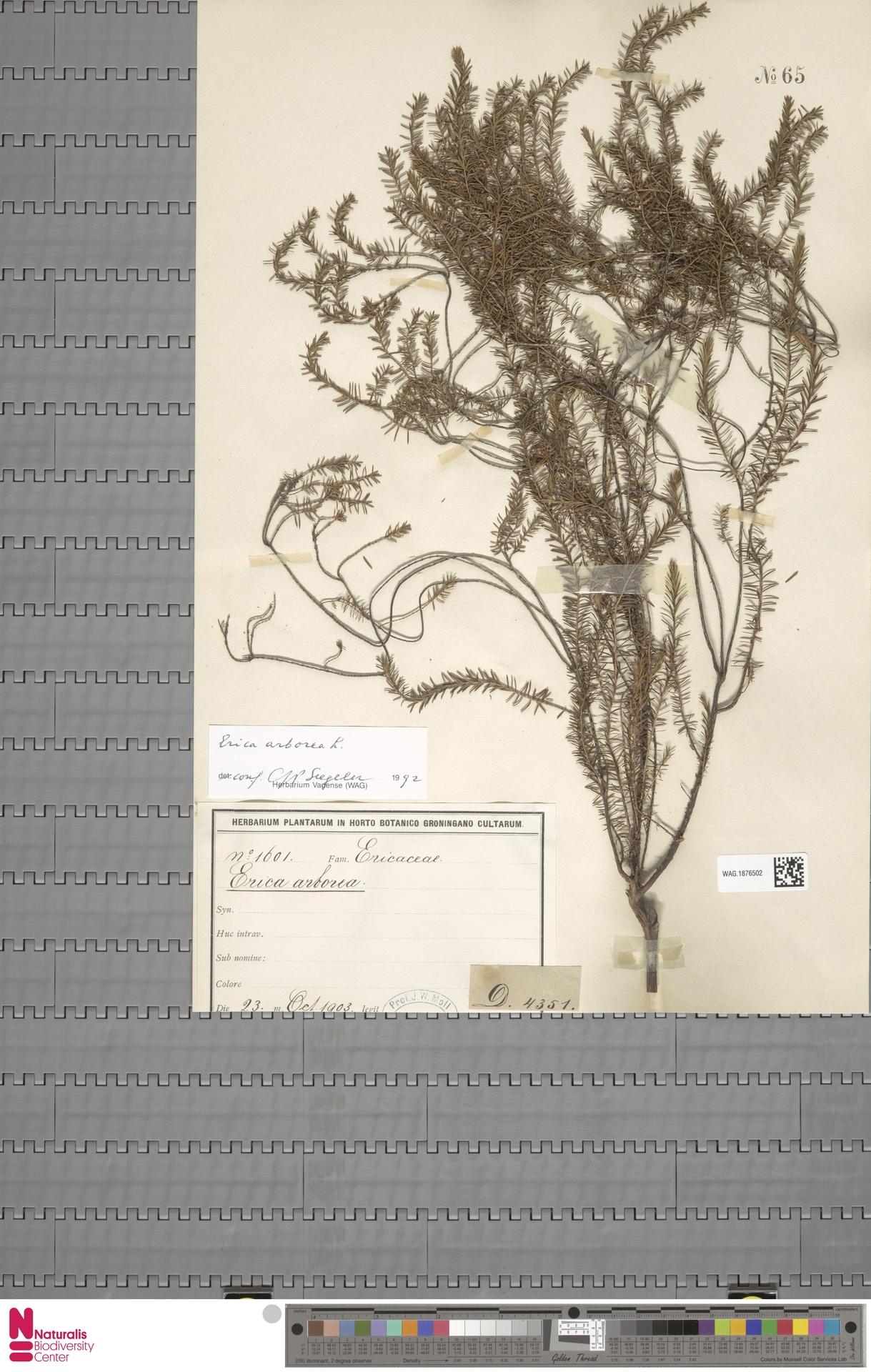 WAG.1876502 | Erica arborea L.