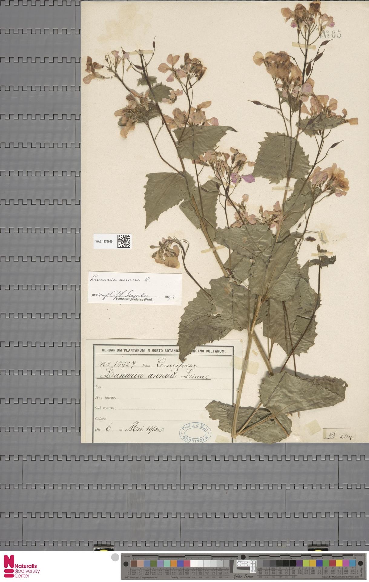 WAG.1876669   Lunaria annua L.