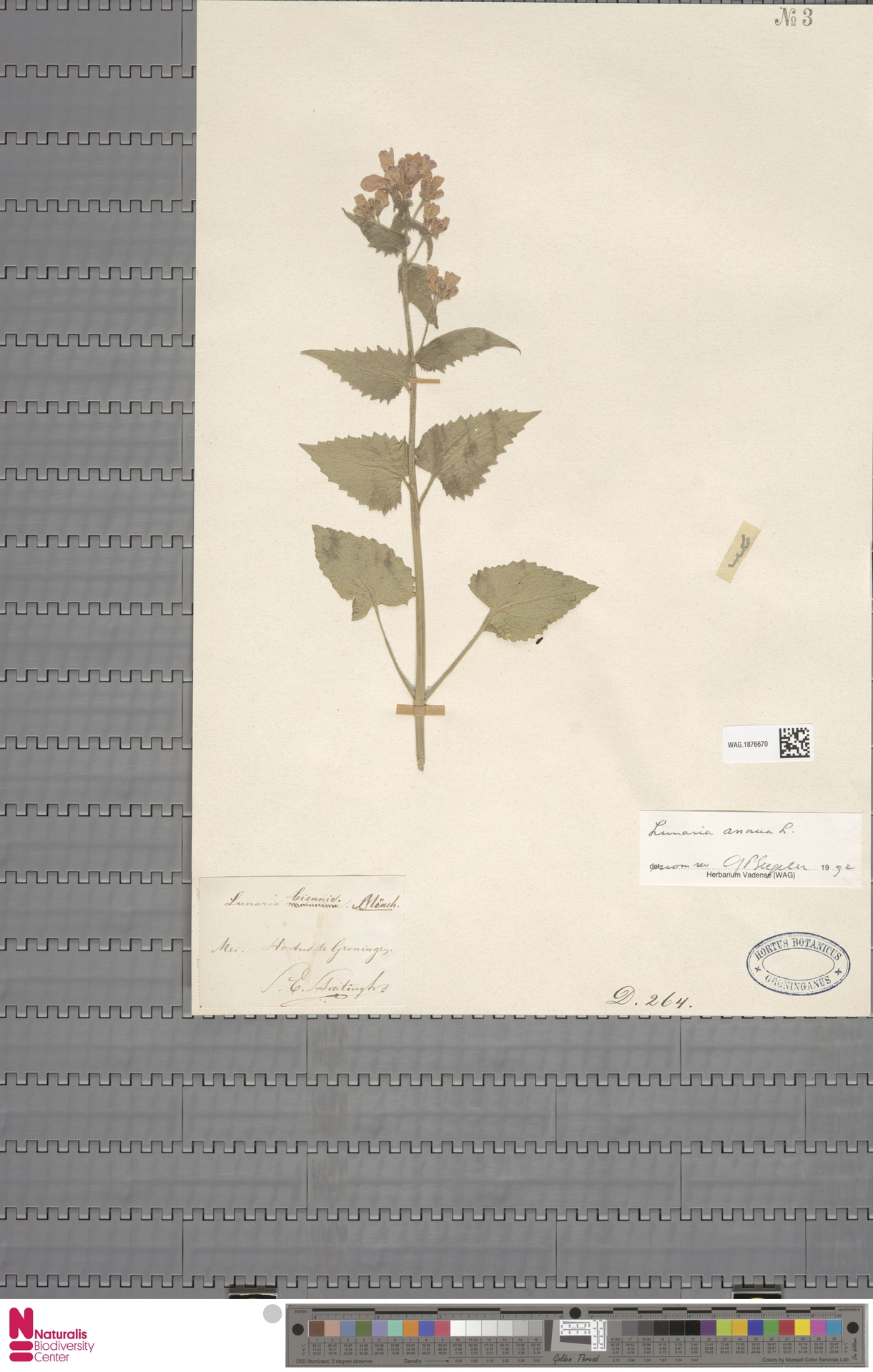 WAG.1876670   Lunaria annua L.