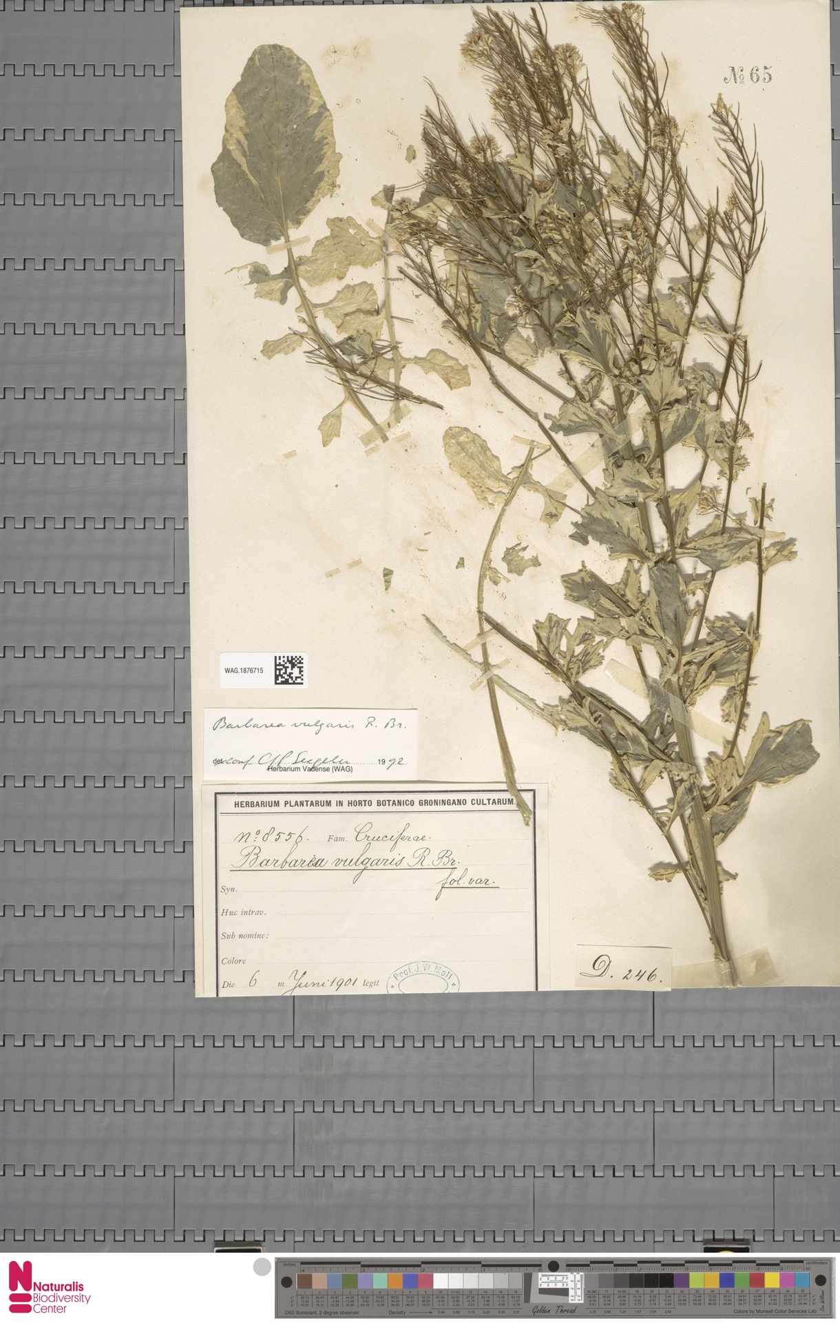 WAG.1876715 | Barbarea vulgaris R.Br.