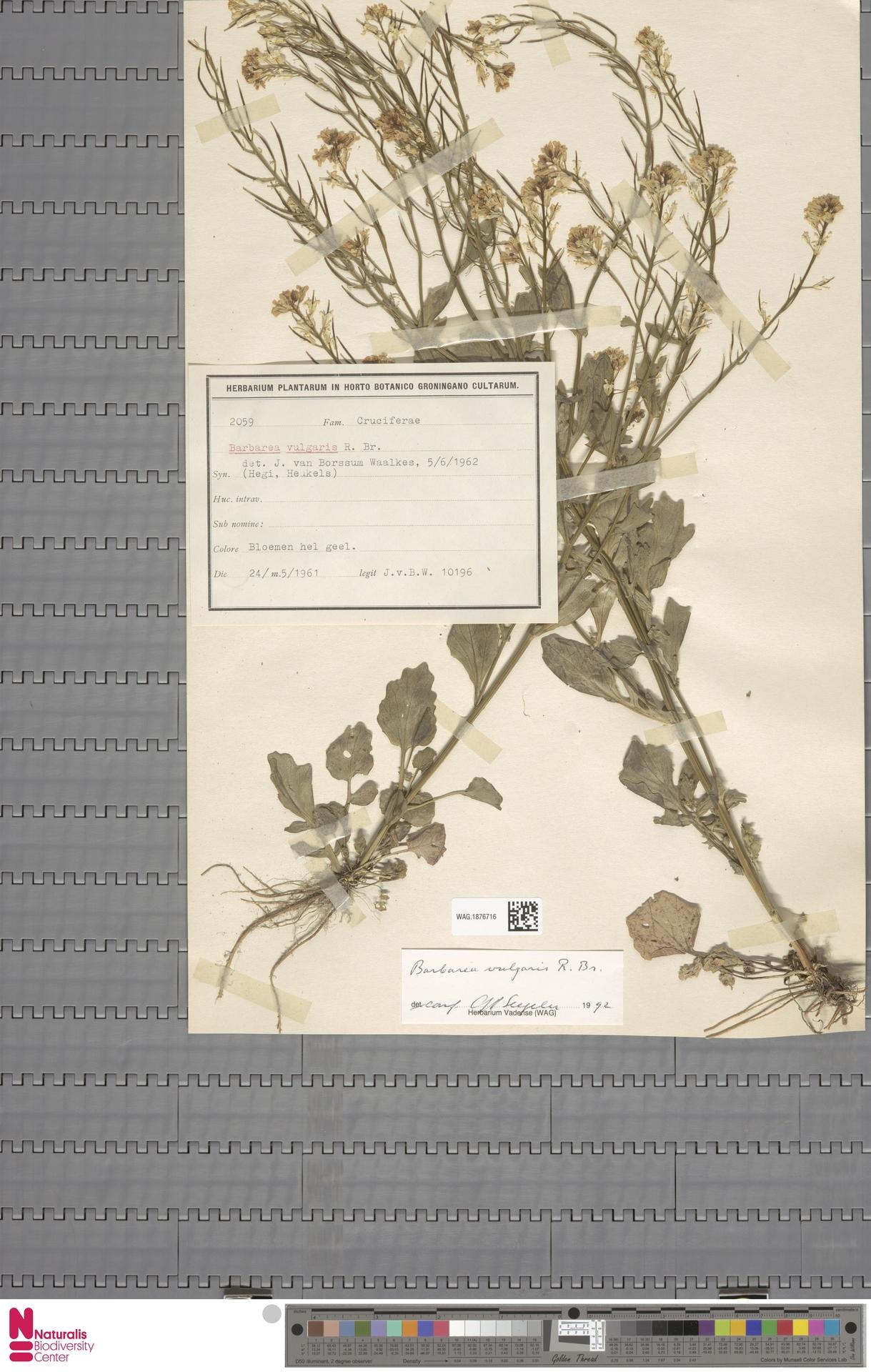 WAG.1876716 | Barbarea vulgaris R.Br.