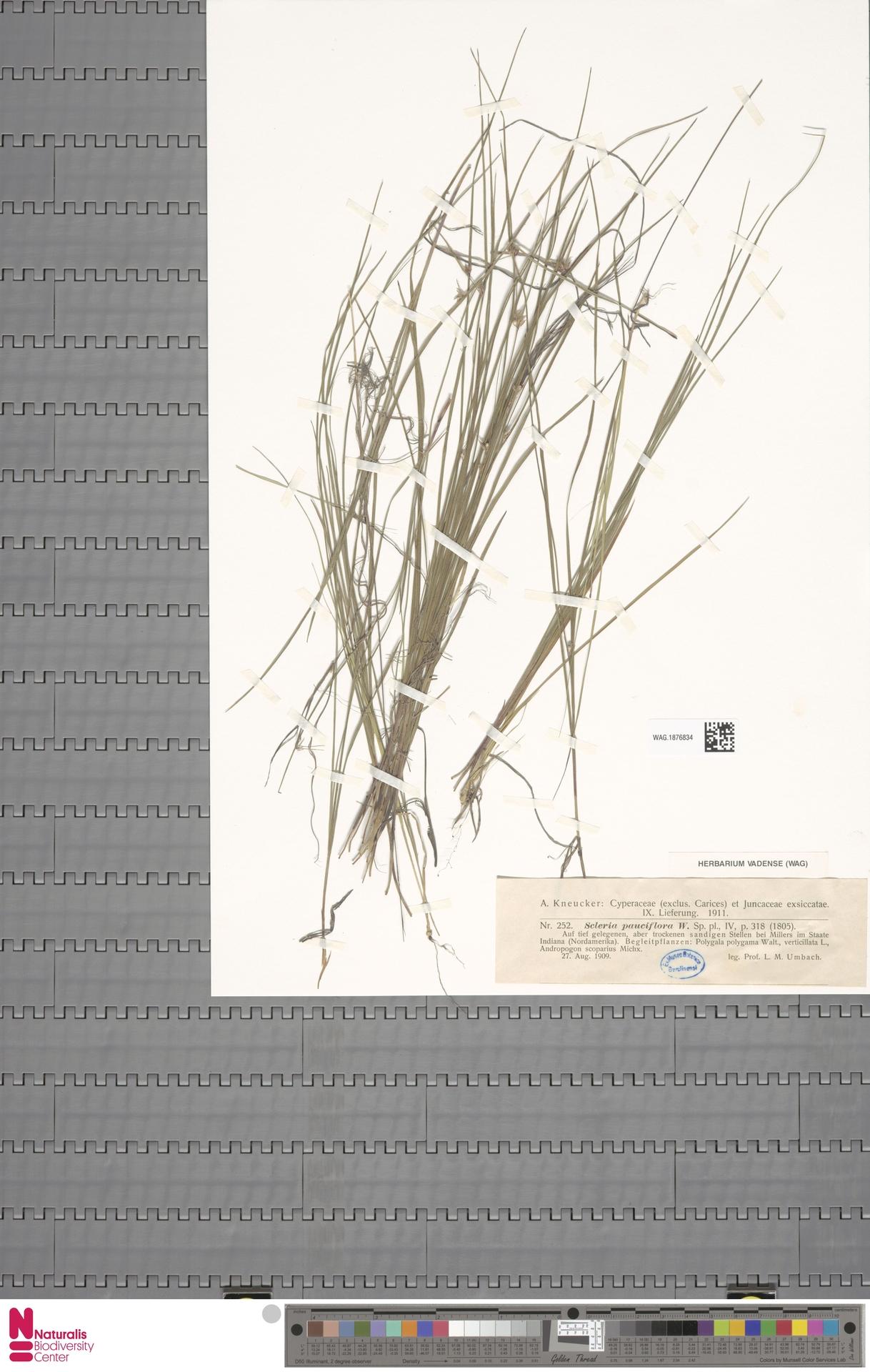 WAG.1876834 | Scleria pauciflora Muhl. ex Willd.