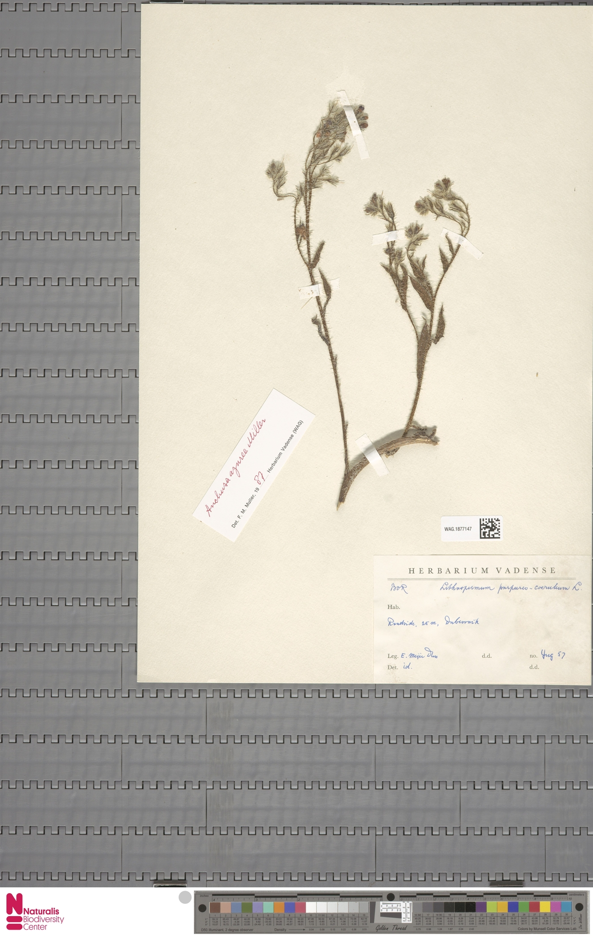 WAG.1877147 | Anchusa azurea Mill.