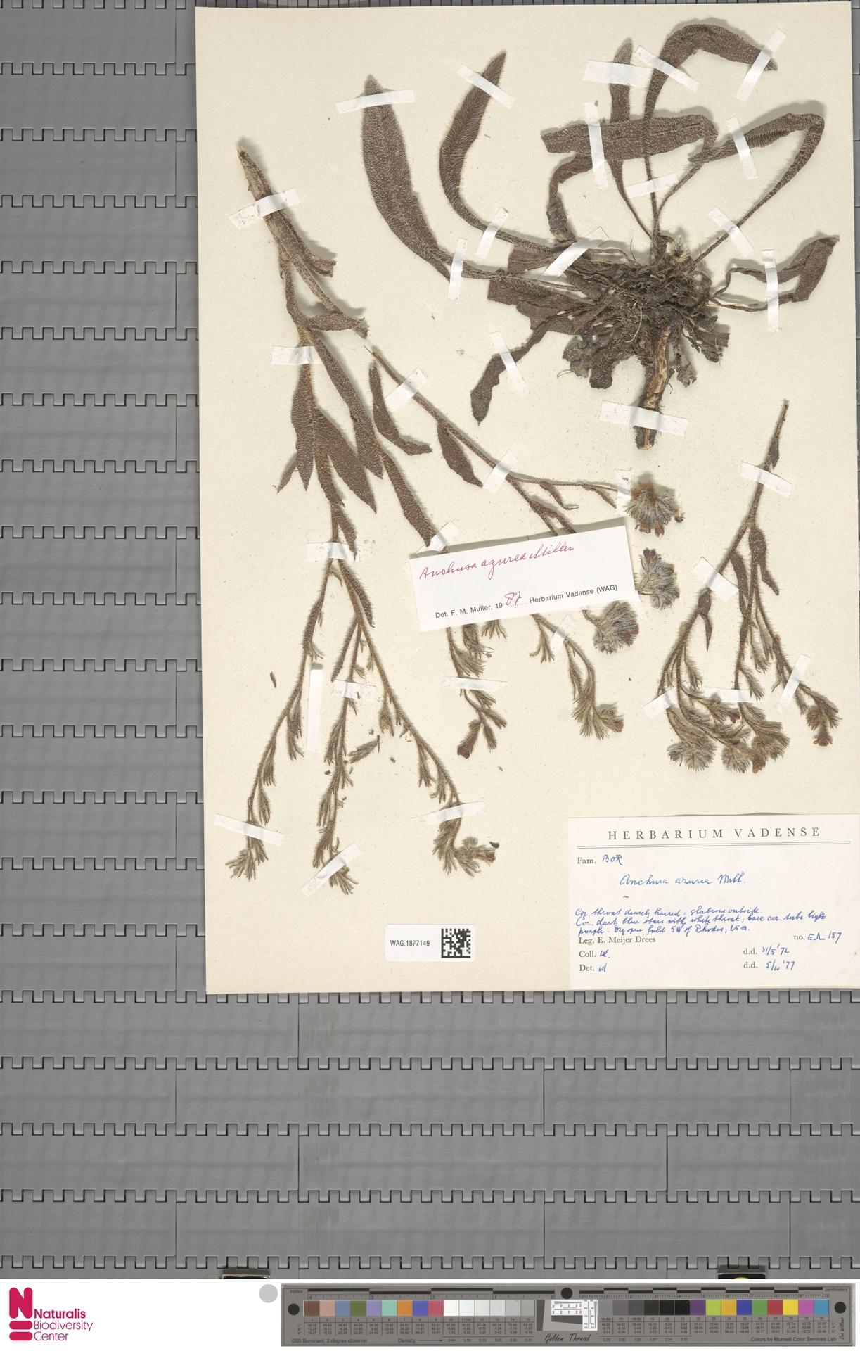 WAG.1877149 | Anchusa azurea Mill.