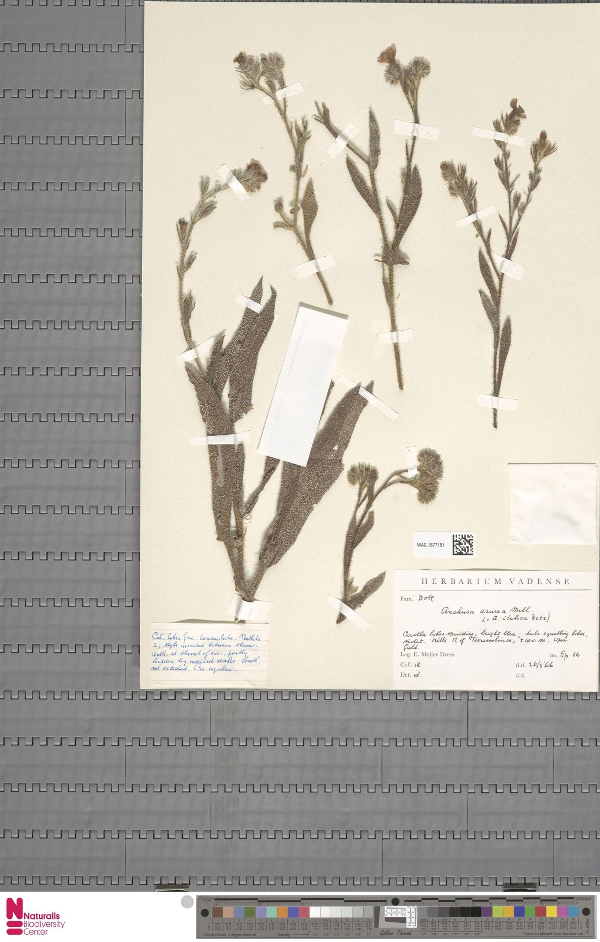 WAG.1877151 | Anchusa azurea Mill.