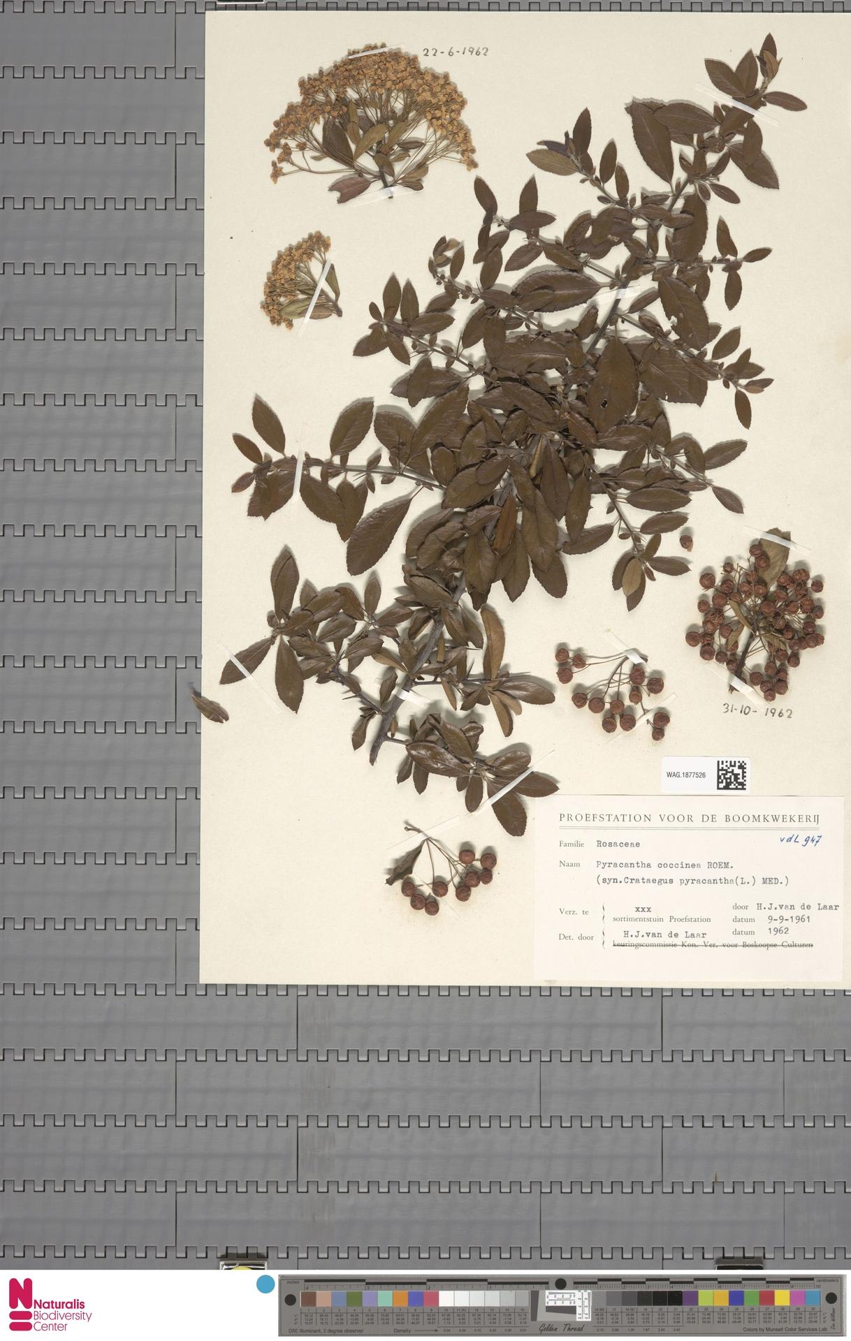 WAG.1877526 | Pyracantha coccinea M.Roem.