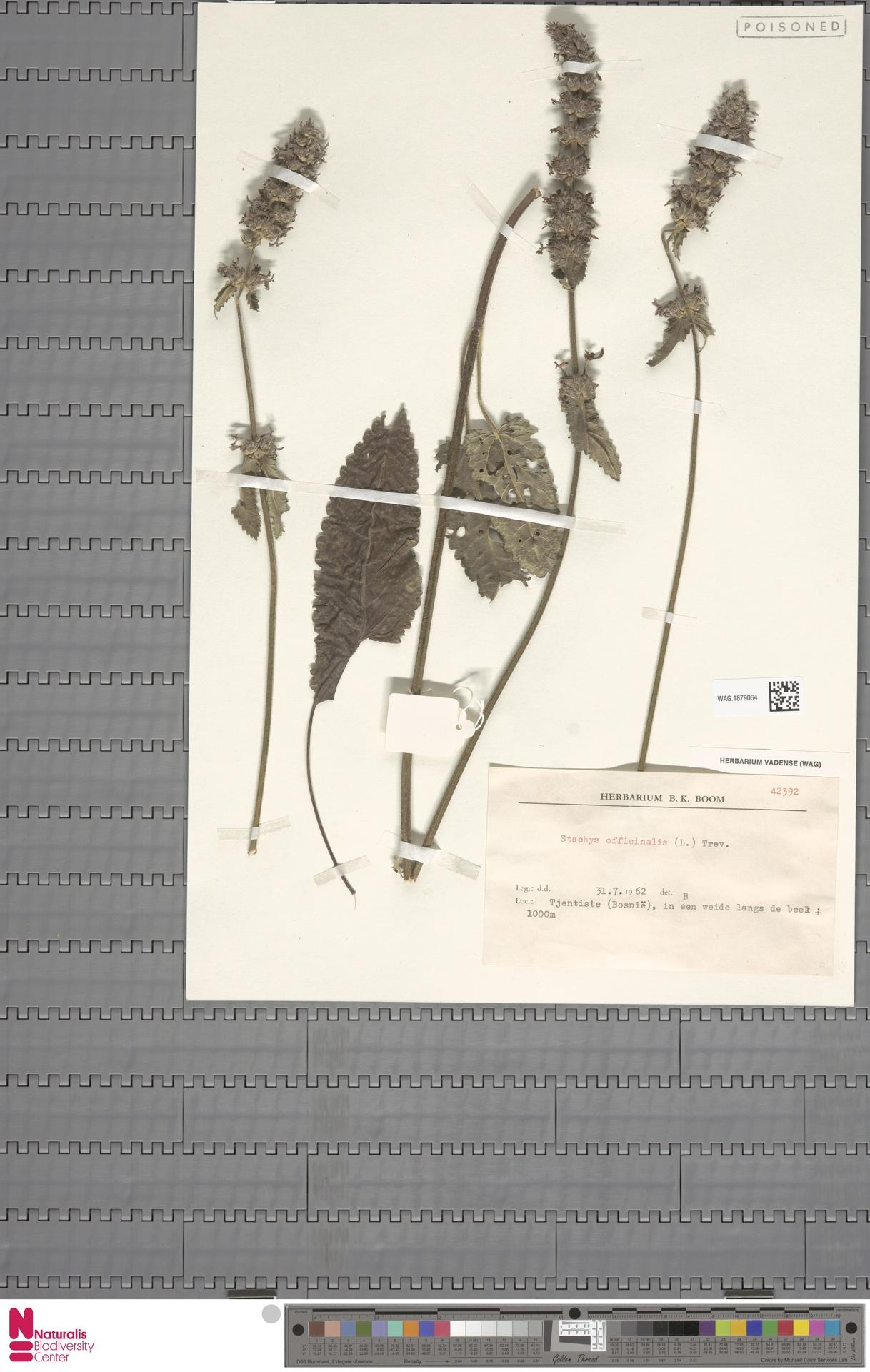 WAG.1879064 | Stachys officinalis (L.) Trevis.