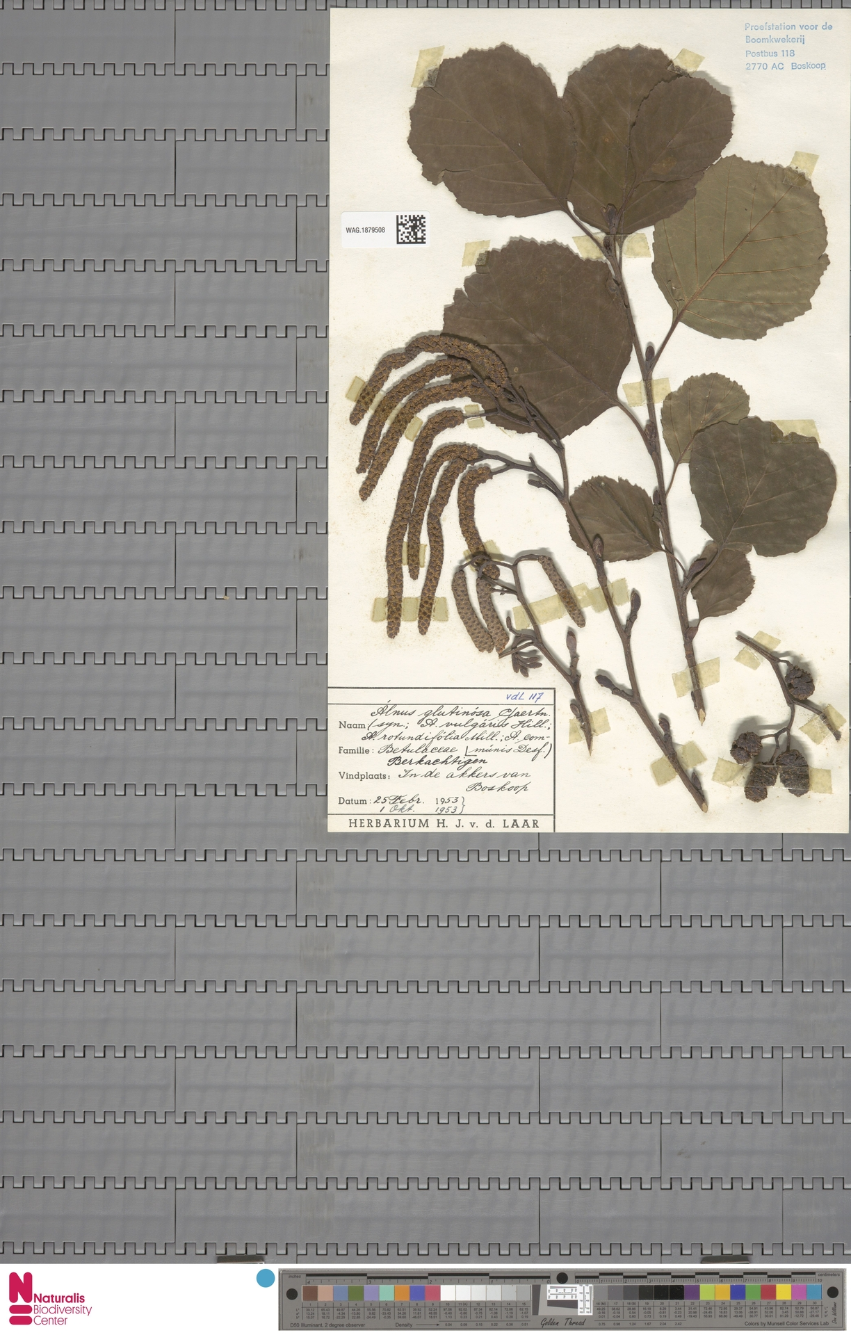 WAG.1879508 | Alnus glutinosa (L.) Gaertn.
