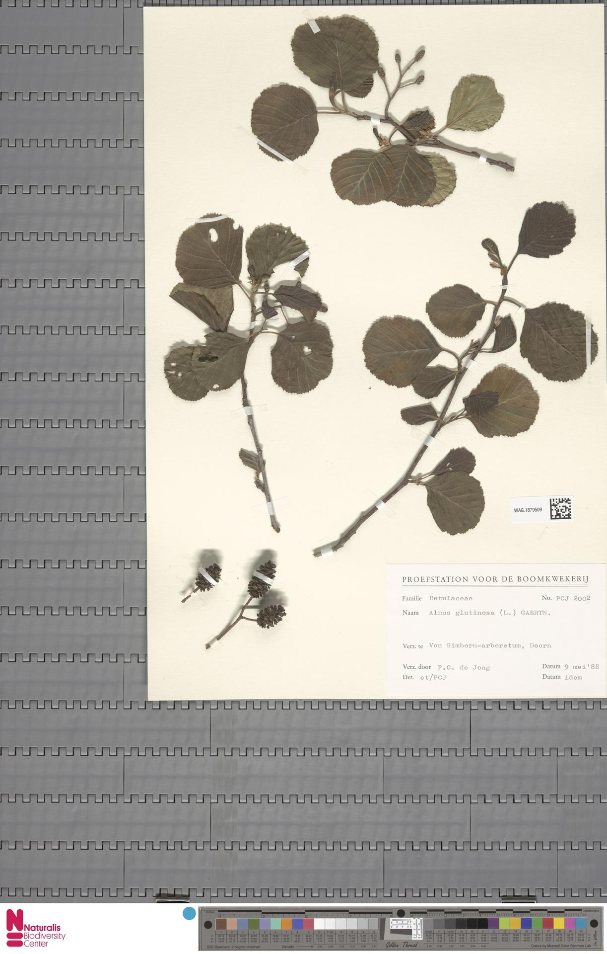 WAG.1879509 | Alnus glutinosa (L.) Gaertn.