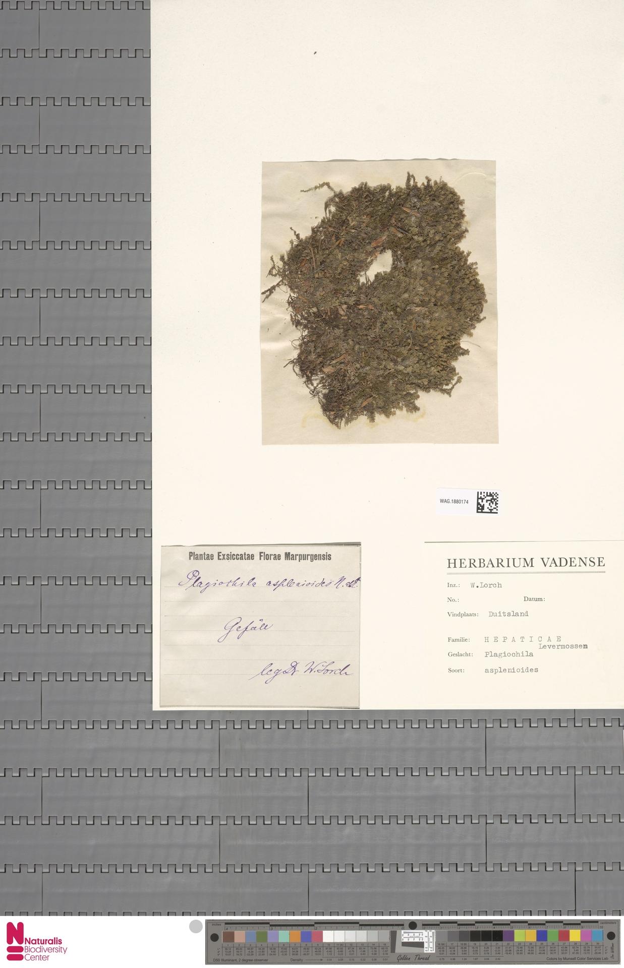 WAG.1880174 | Plagiochila asplenioides (L.) Dumort.
