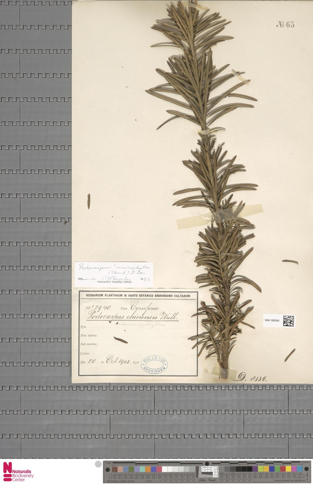 WAG.1880569 | Podocarpus macrophyllus (Thunb.) Sweet