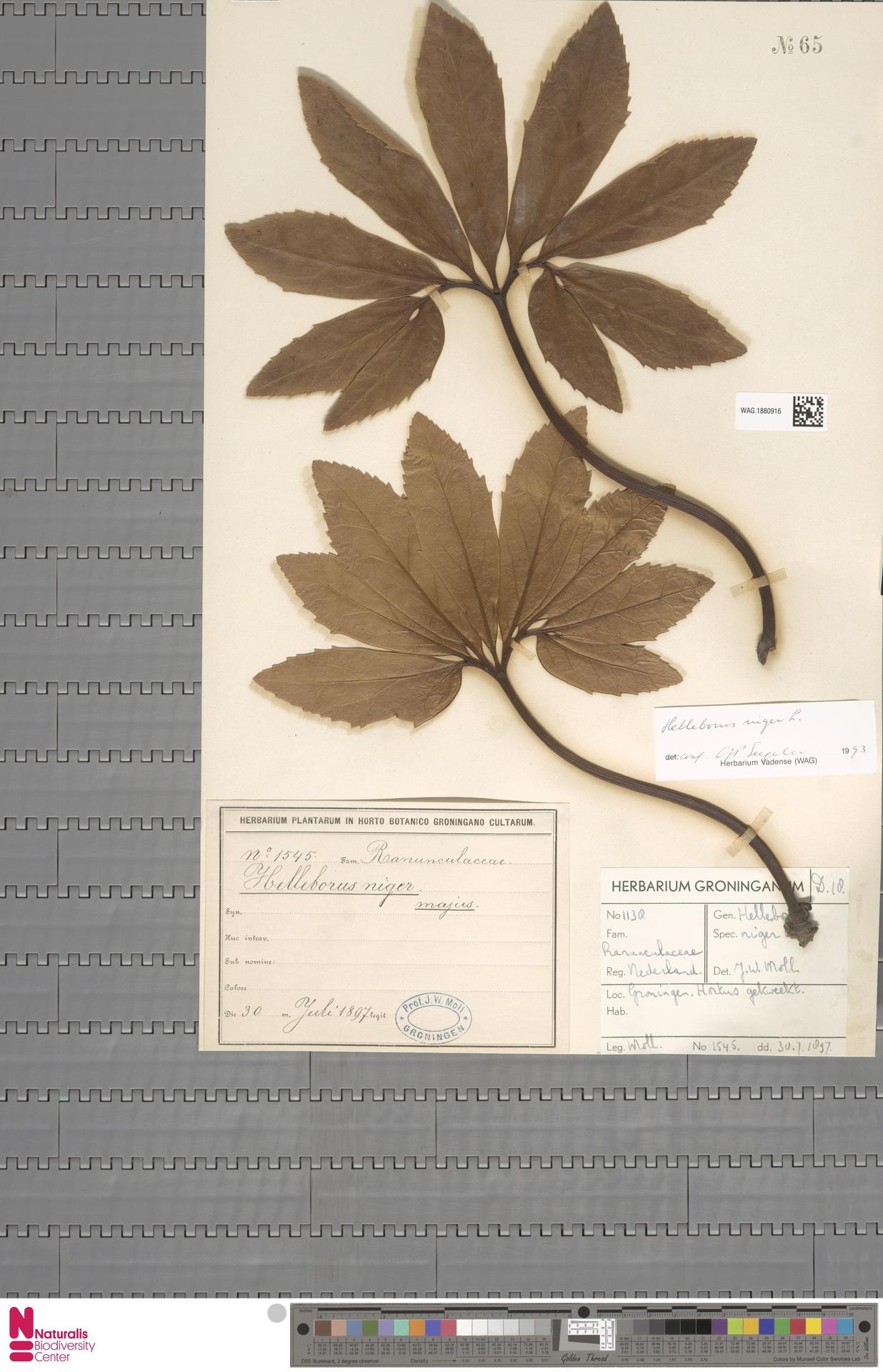 WAG.1880916   Helleborus niger L.