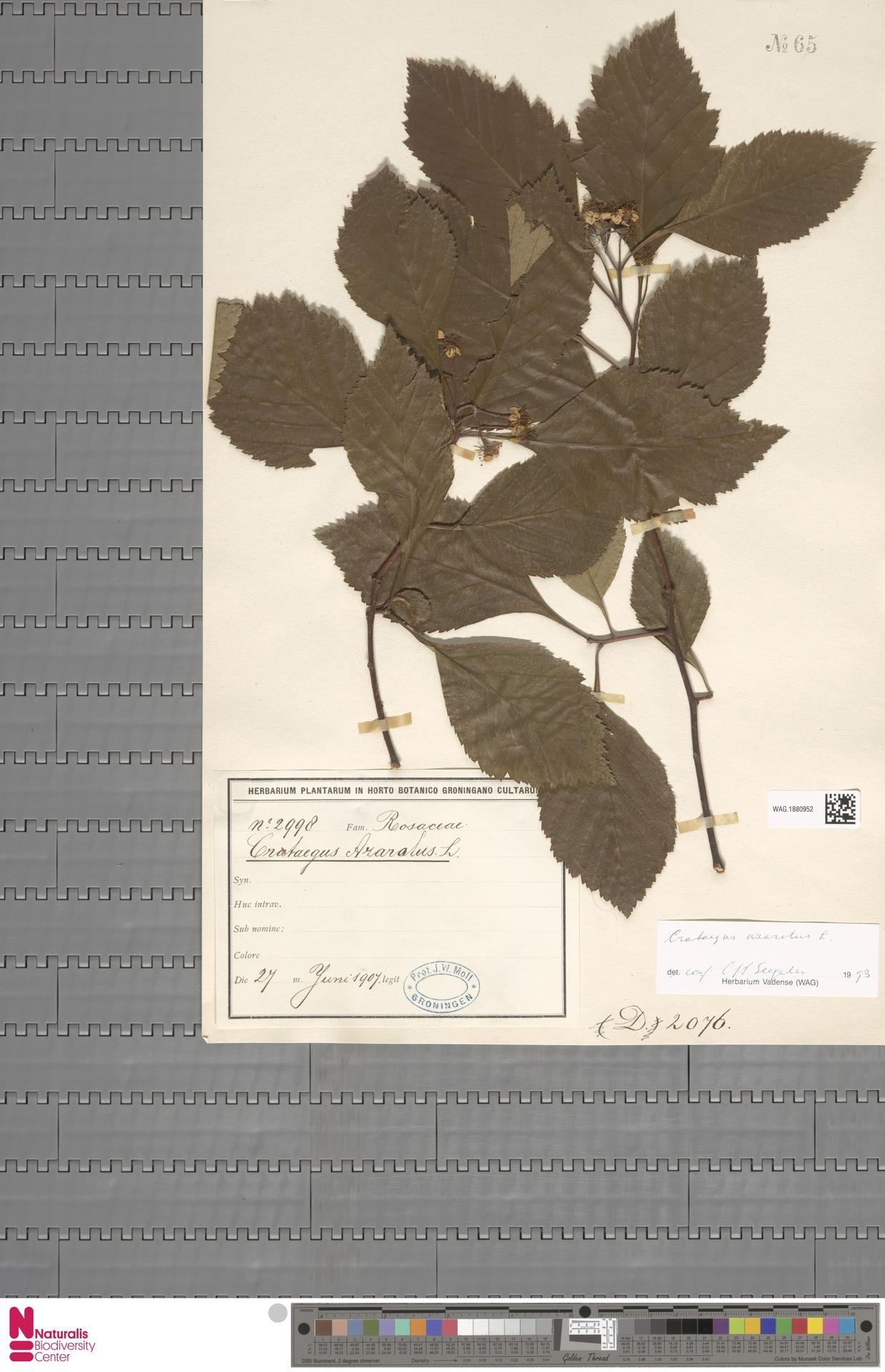 WAG.1880952   Crataegus azarolus L.