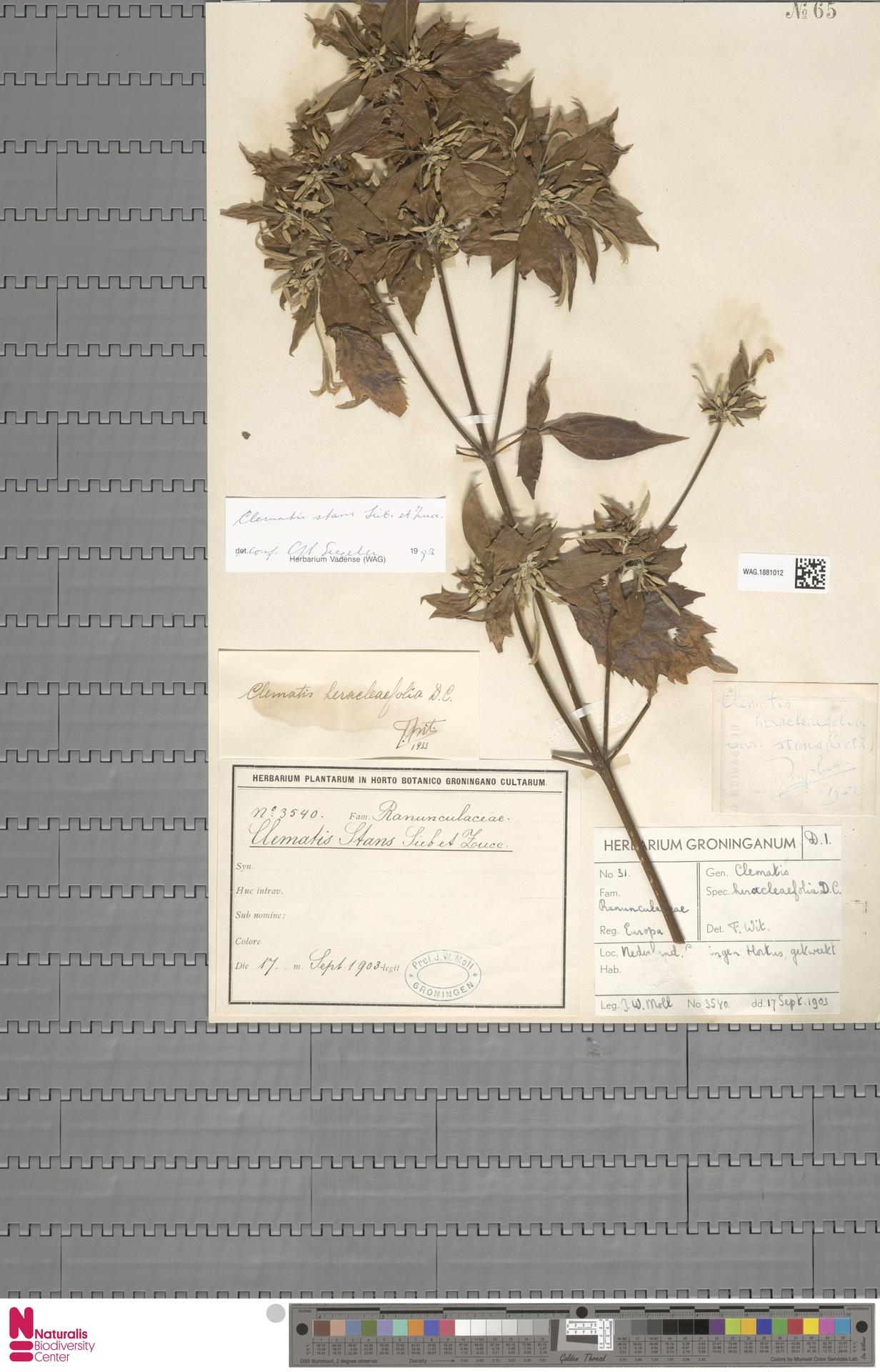 WAG.1881012 | Clematis stans Siebold & Zucc.