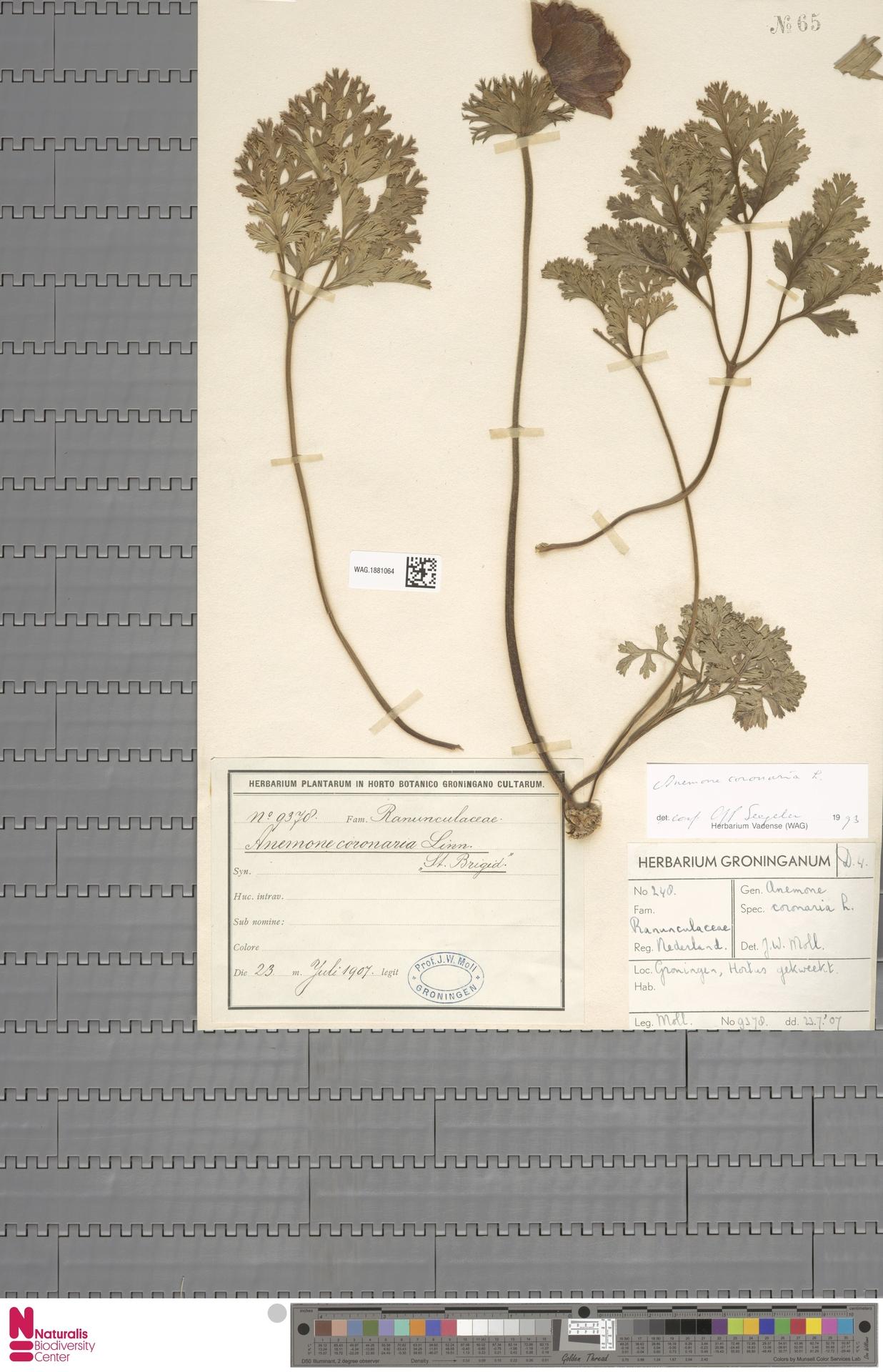 WAG.1881064 | Anemone coronaria L.