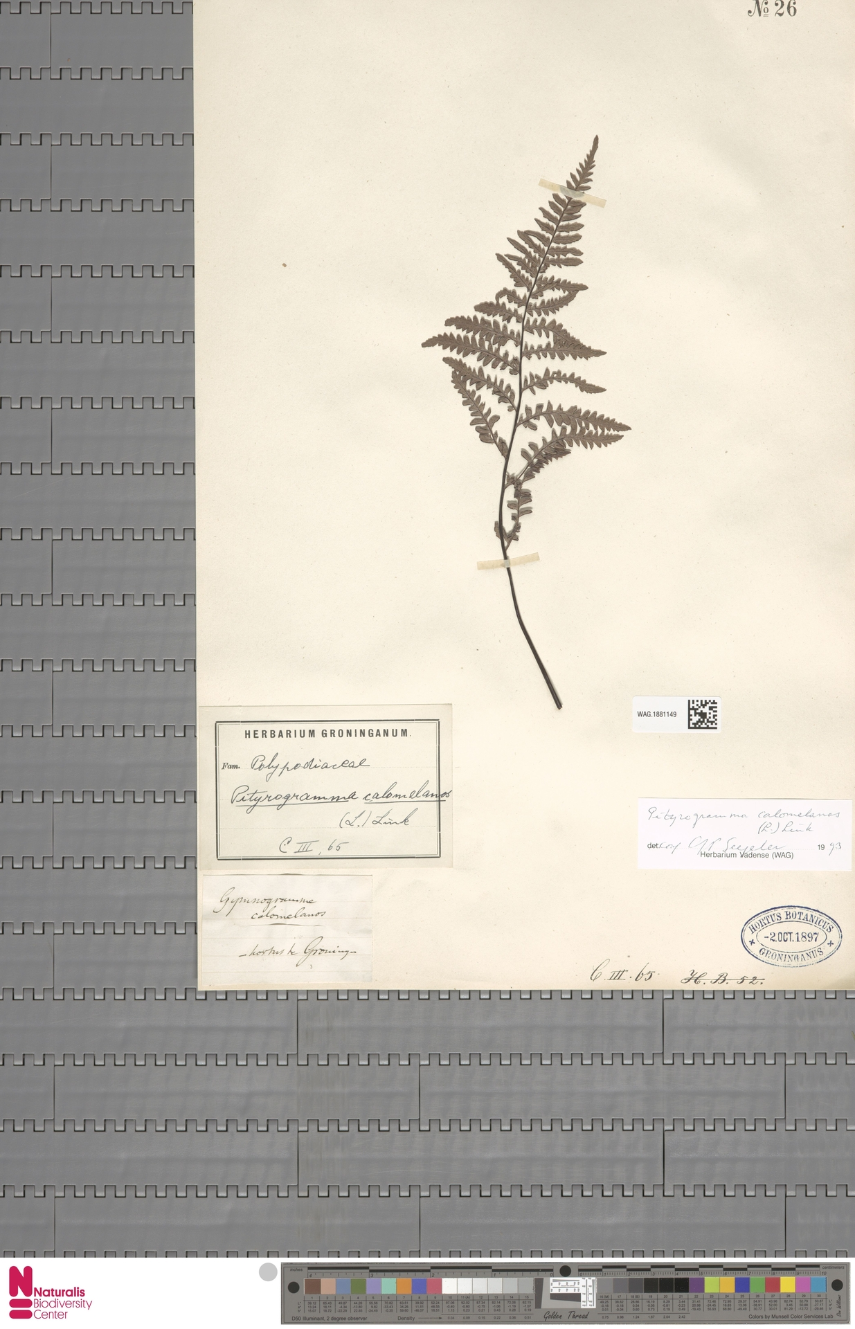 WAG.1881149 | Pityrogramma calomelanos (L.) Link