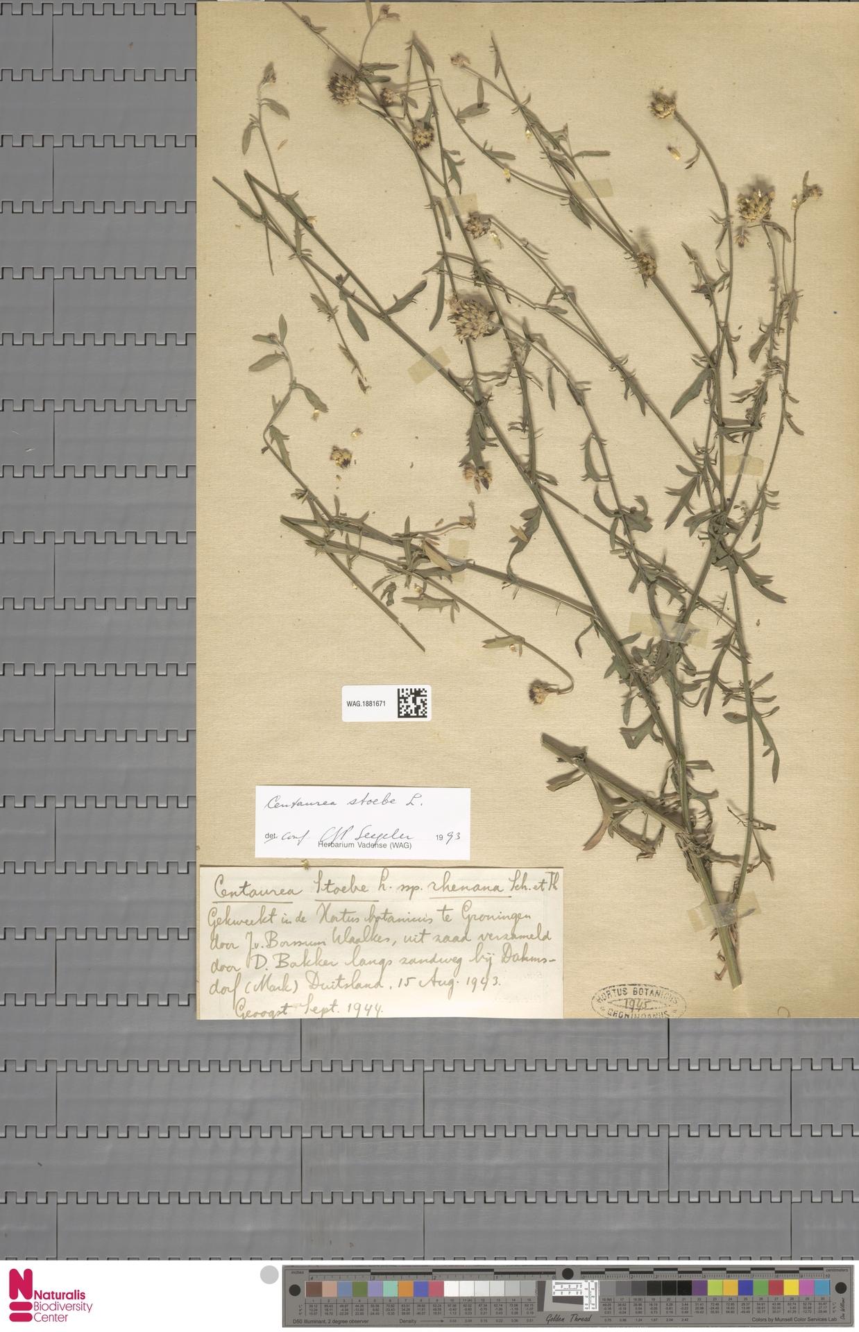 WAG.1881671 | Centaurea stoebe L.