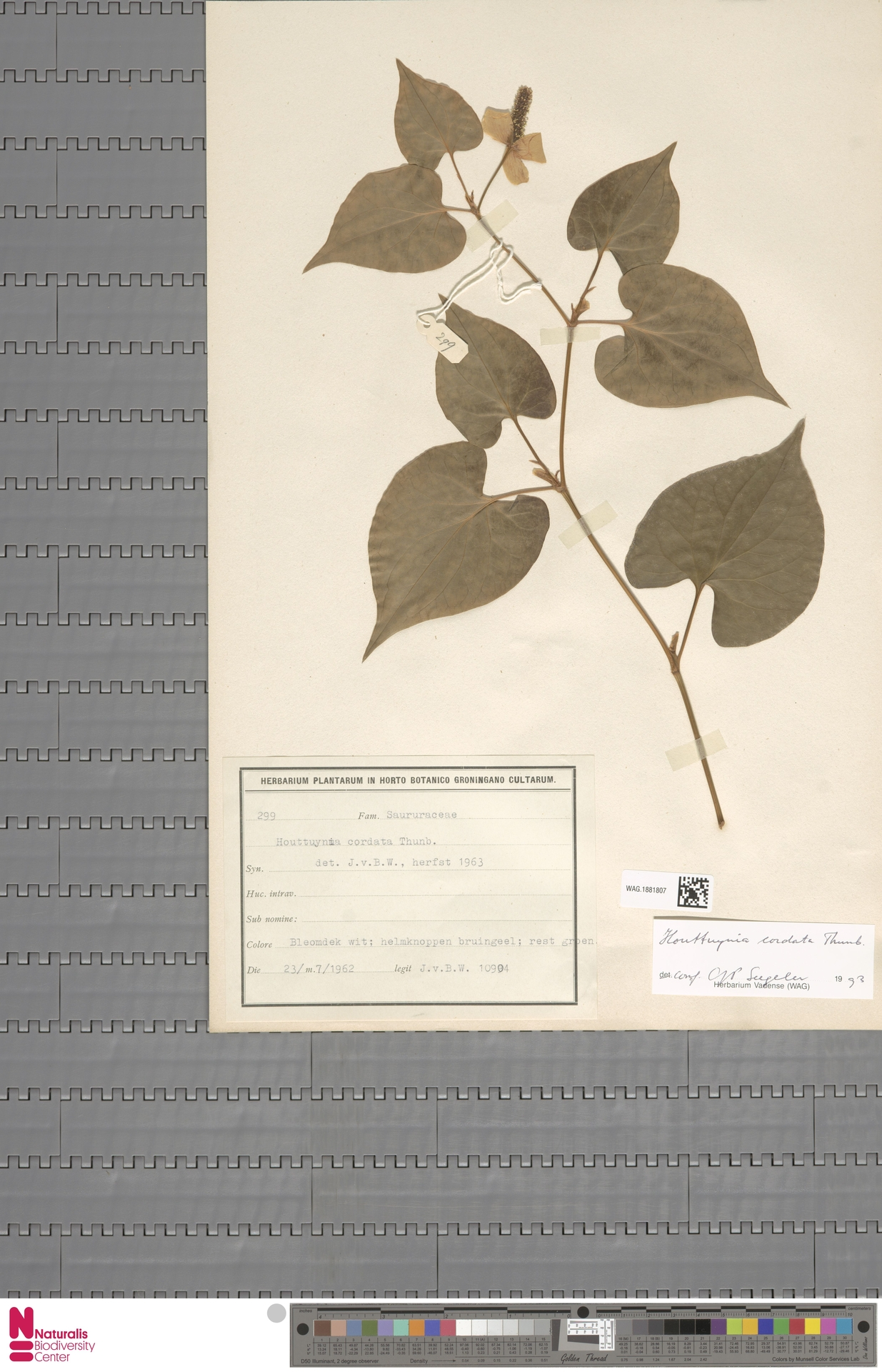 WAG.1881807 | Houttuynia cordata Thunb.