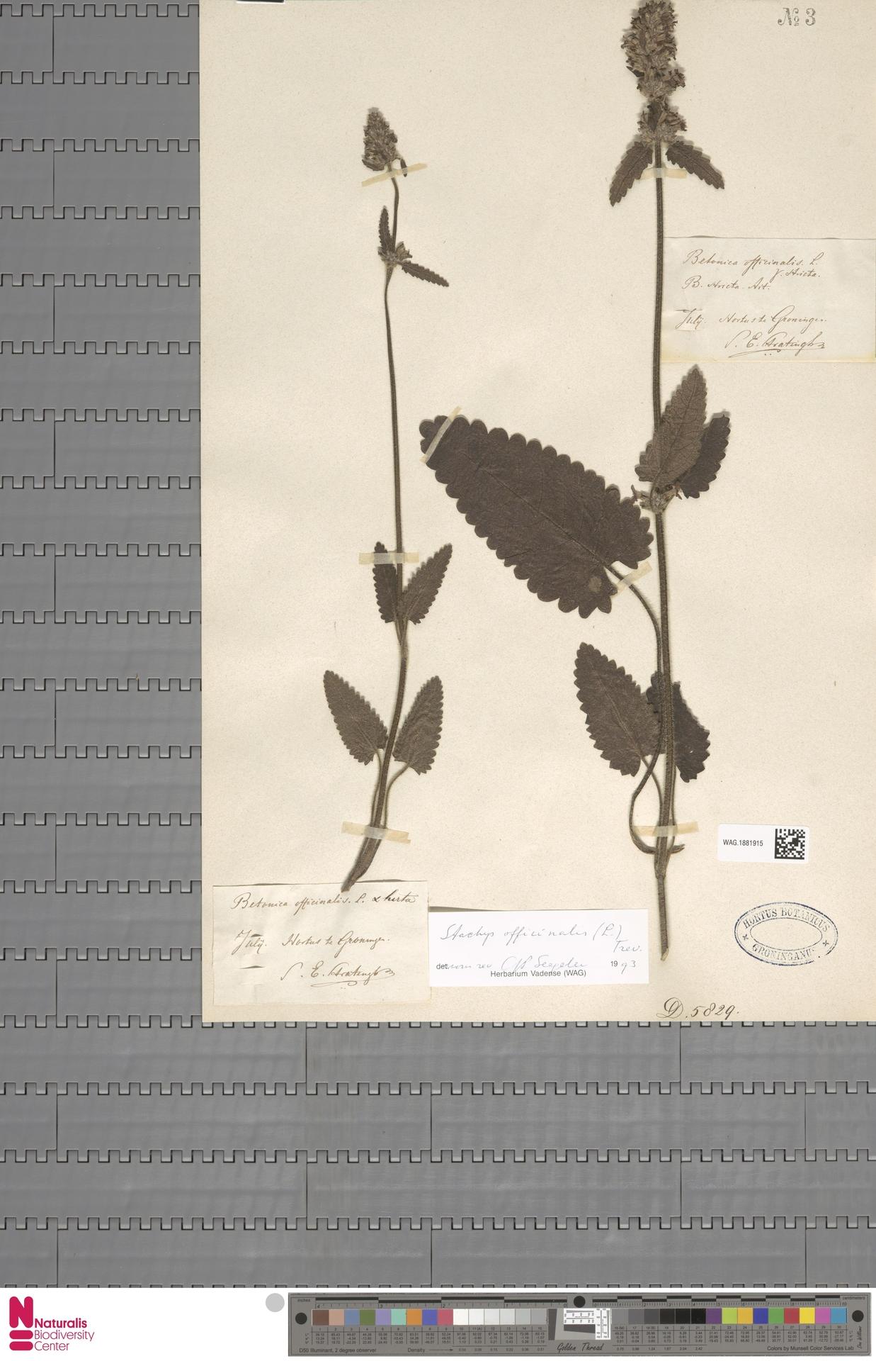 WAG.1881915   Stachys officinalis (L.) Trevis.