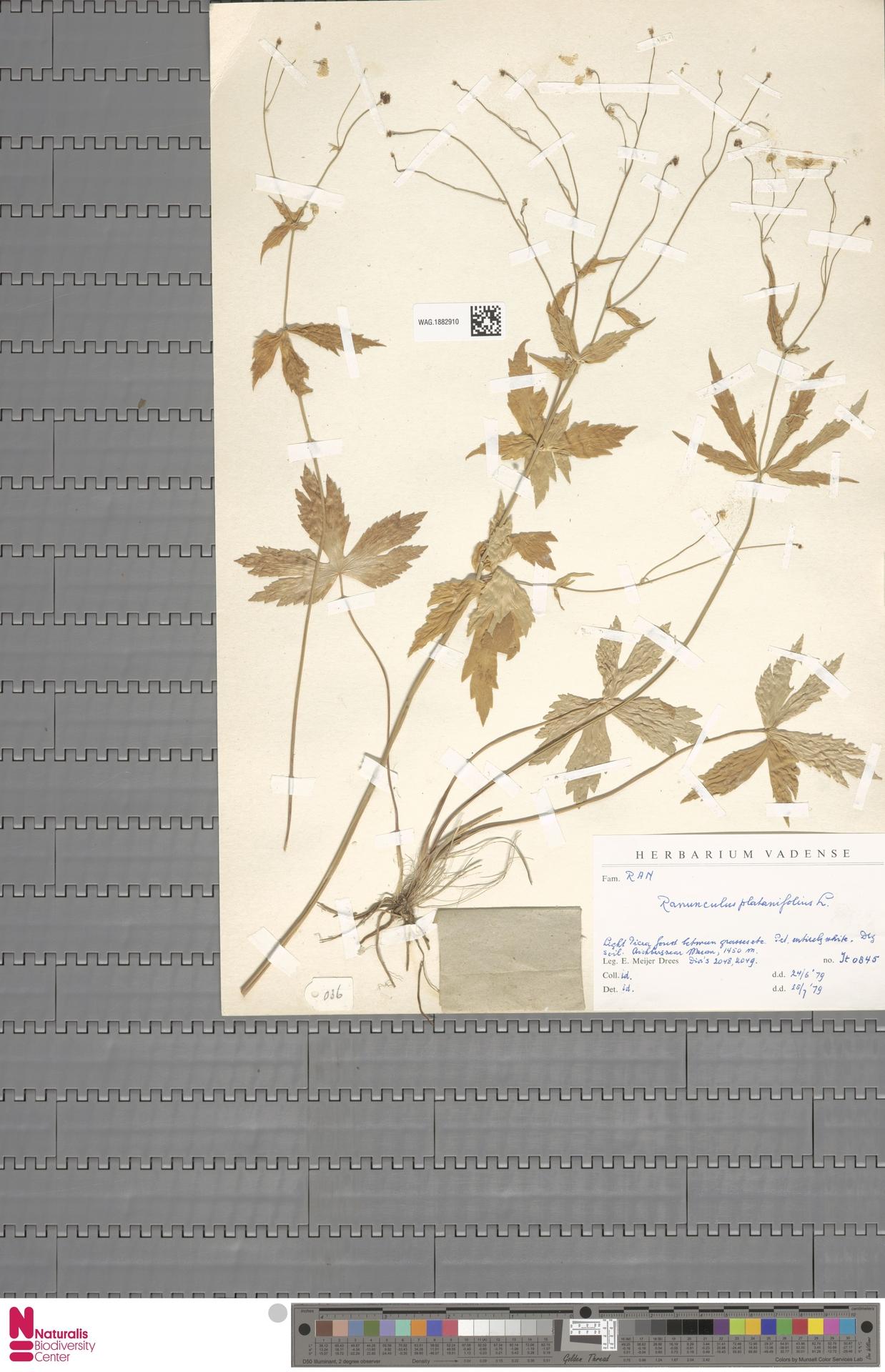 WAG.1882910 | Ranunculus platanifolius L.