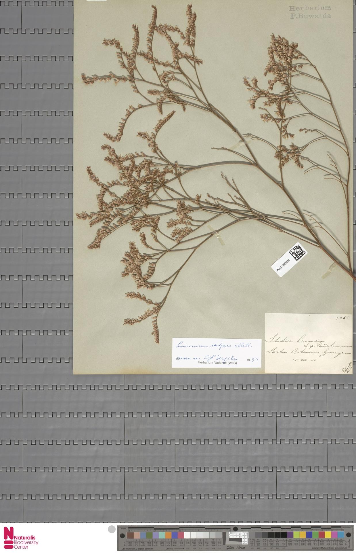 WAG.1883024   Limonium vulgare Mill.