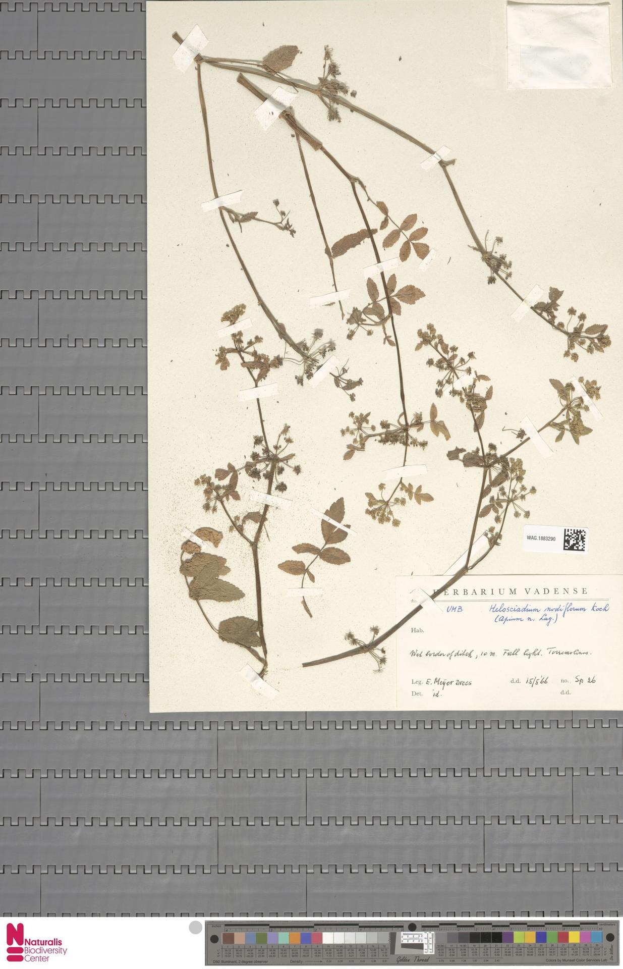 WAG.1883290   Helosciadium nodiflorum (L.) Koch