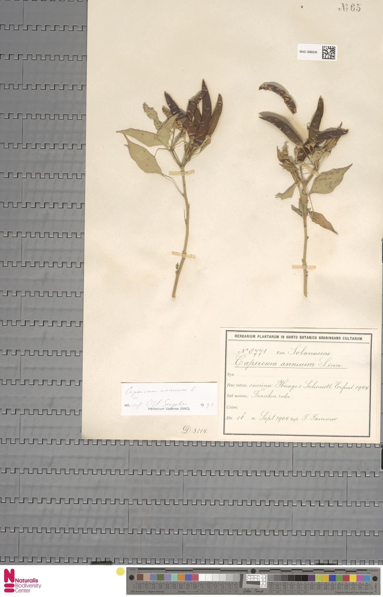 WAG.1886546 | Capsicum annuum L.