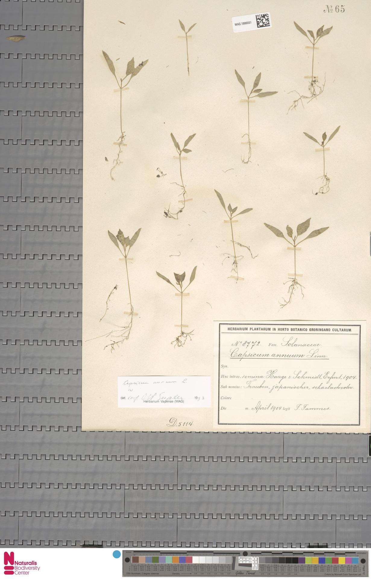 WAG.1886551   Capsicum annuum L.