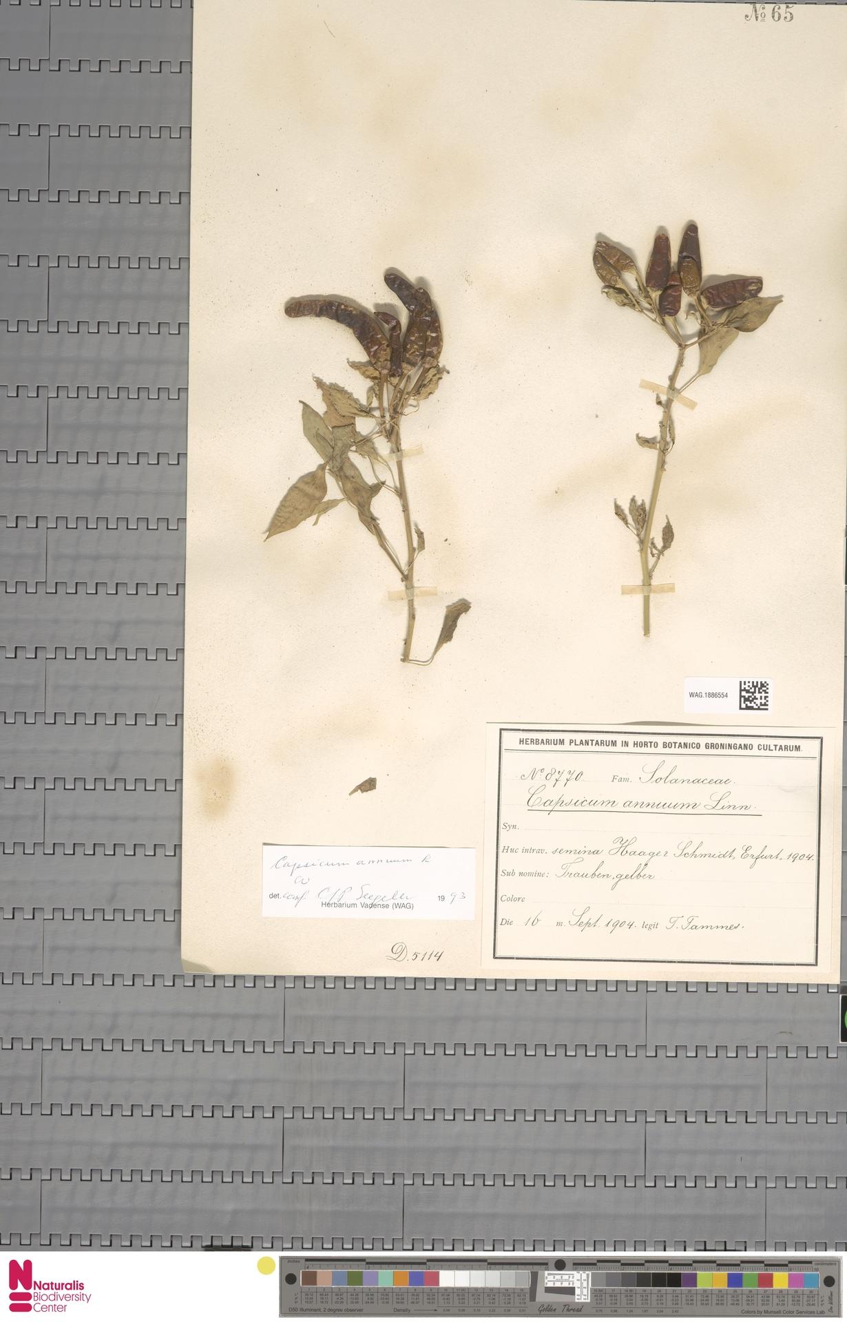 WAG.1886554 | Capsicum annuum L.