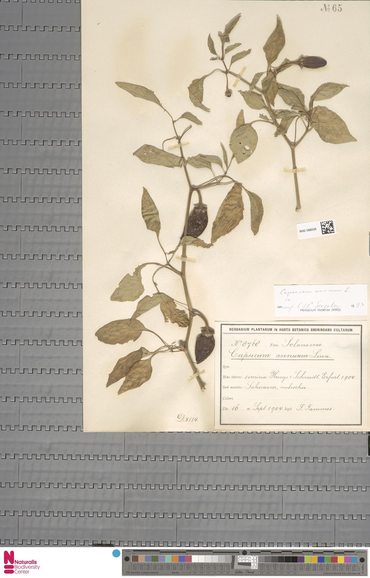 WAG.1886556 | Capsicum annuum L.