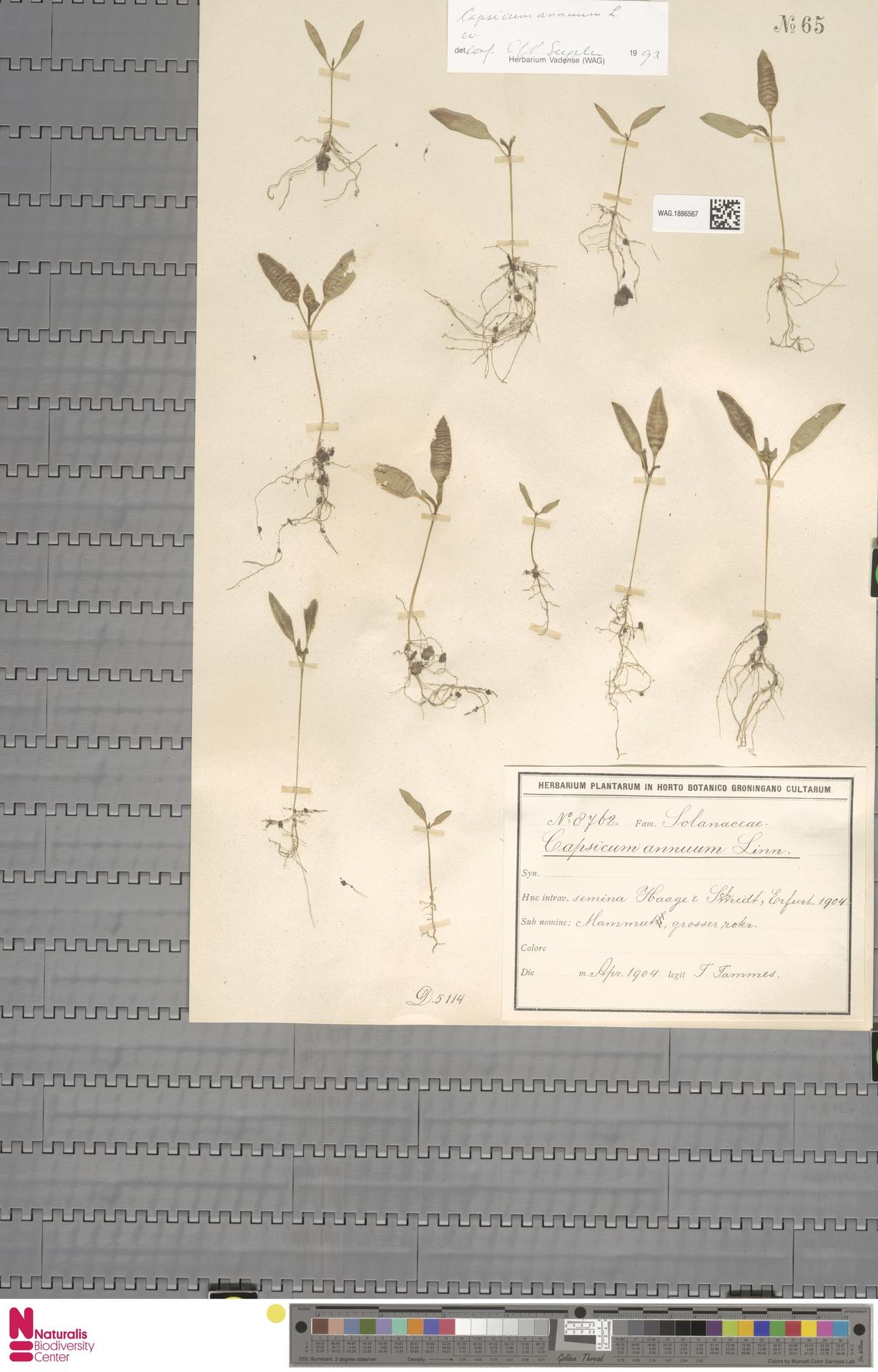 WAG.1886567   Capsicum annuum L.