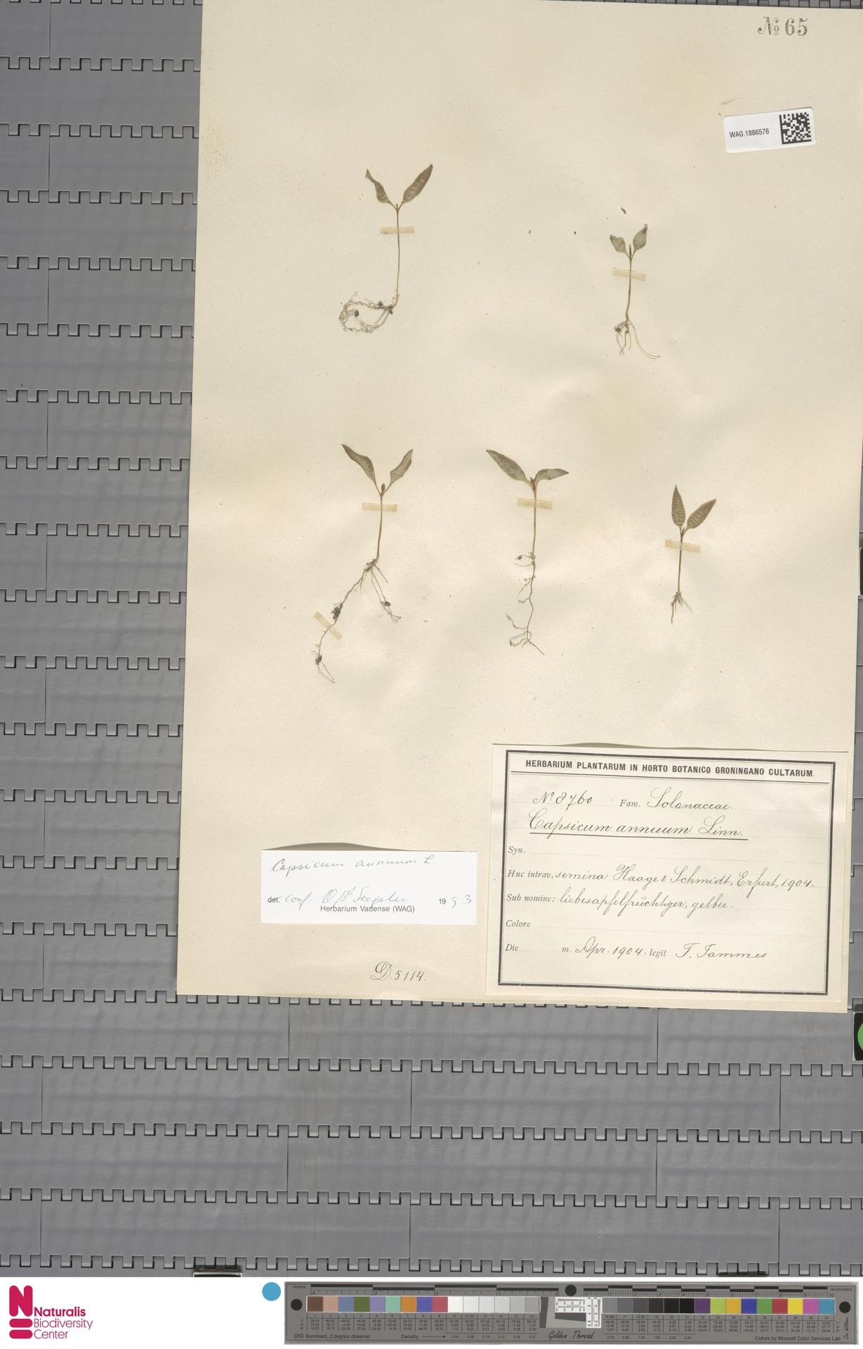WAG.1886576 | Capsicum annuum L.