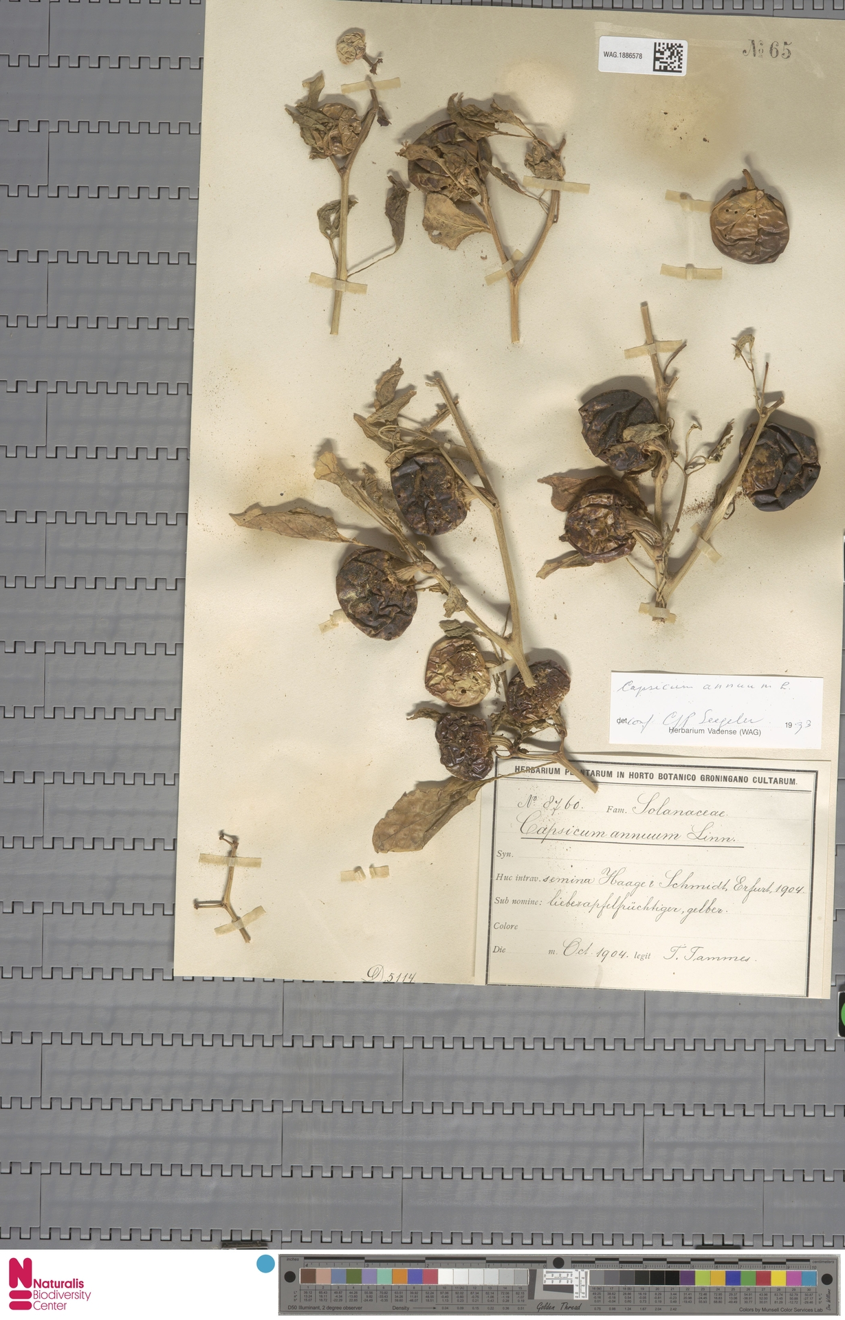 WAG.1886578 | Capsicum annuum L.