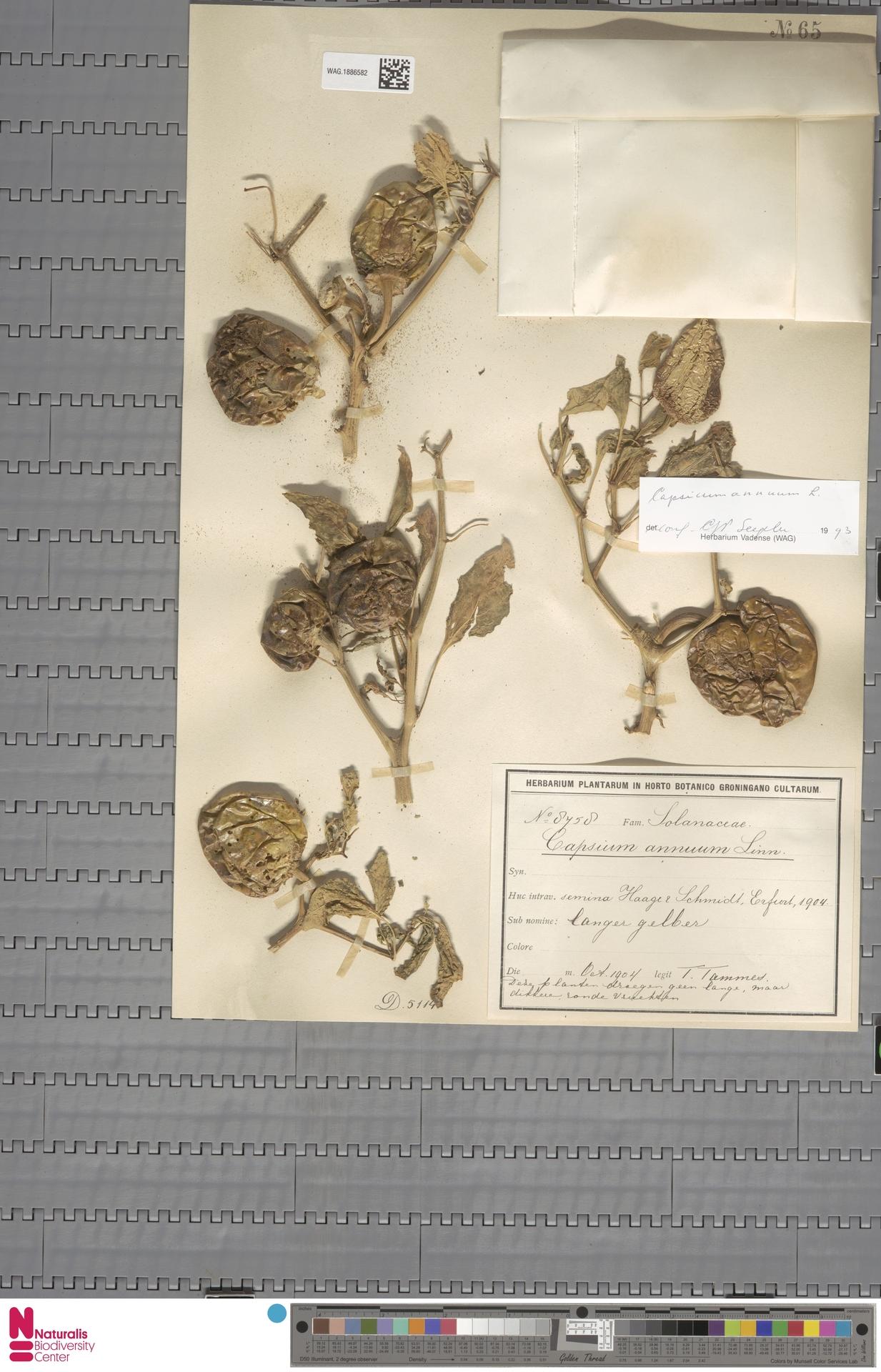 WAG.1886582 | Capsicum annuum L.