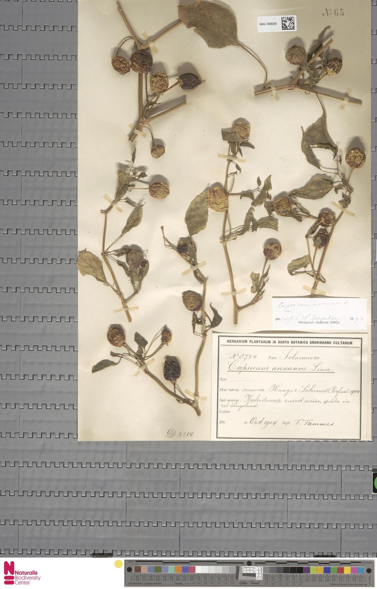 WAG.1886590   Capsicum annuum L.