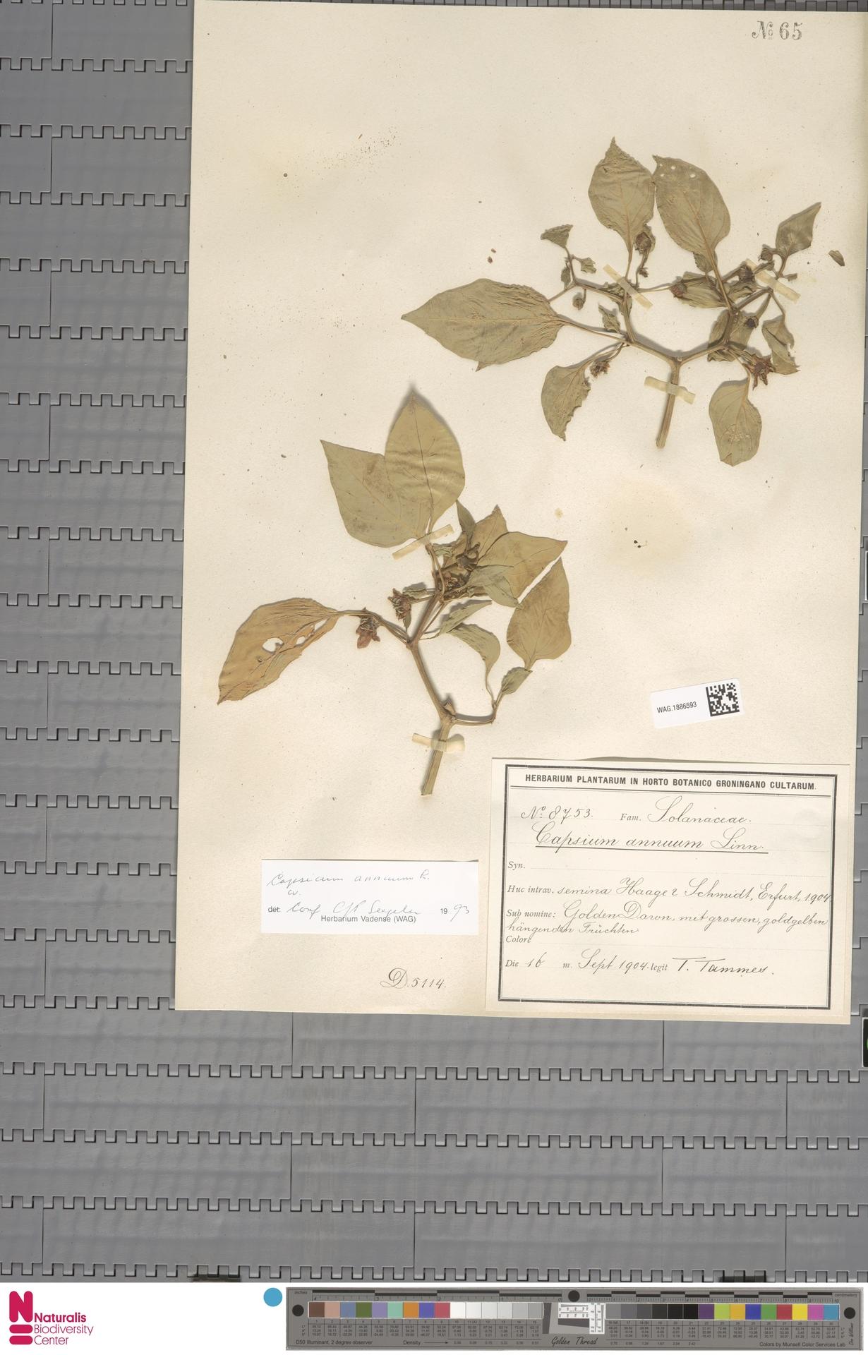 WAG.1886593 | Capsicum annuum L.
