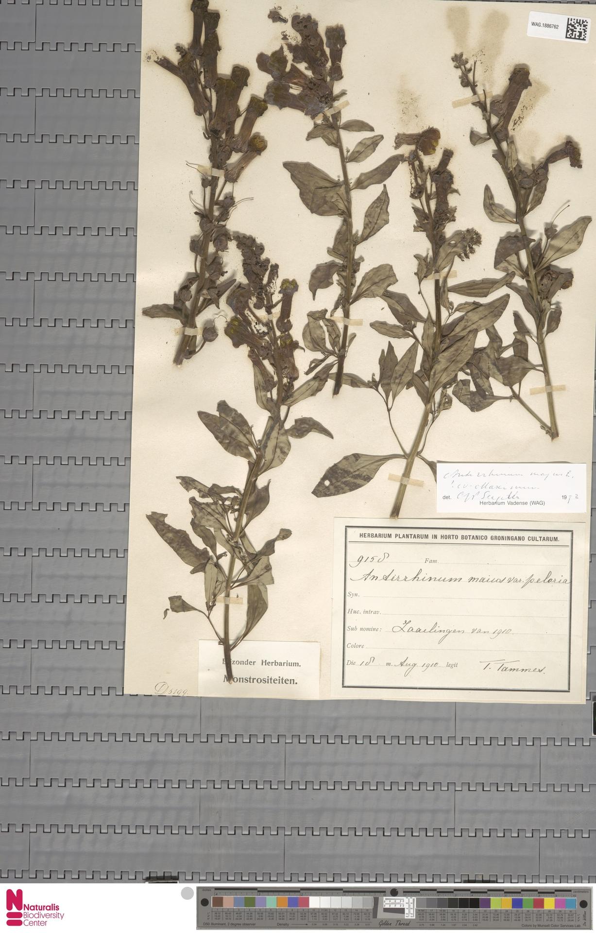 WAG.1886762 | Antirrhinum majus L.