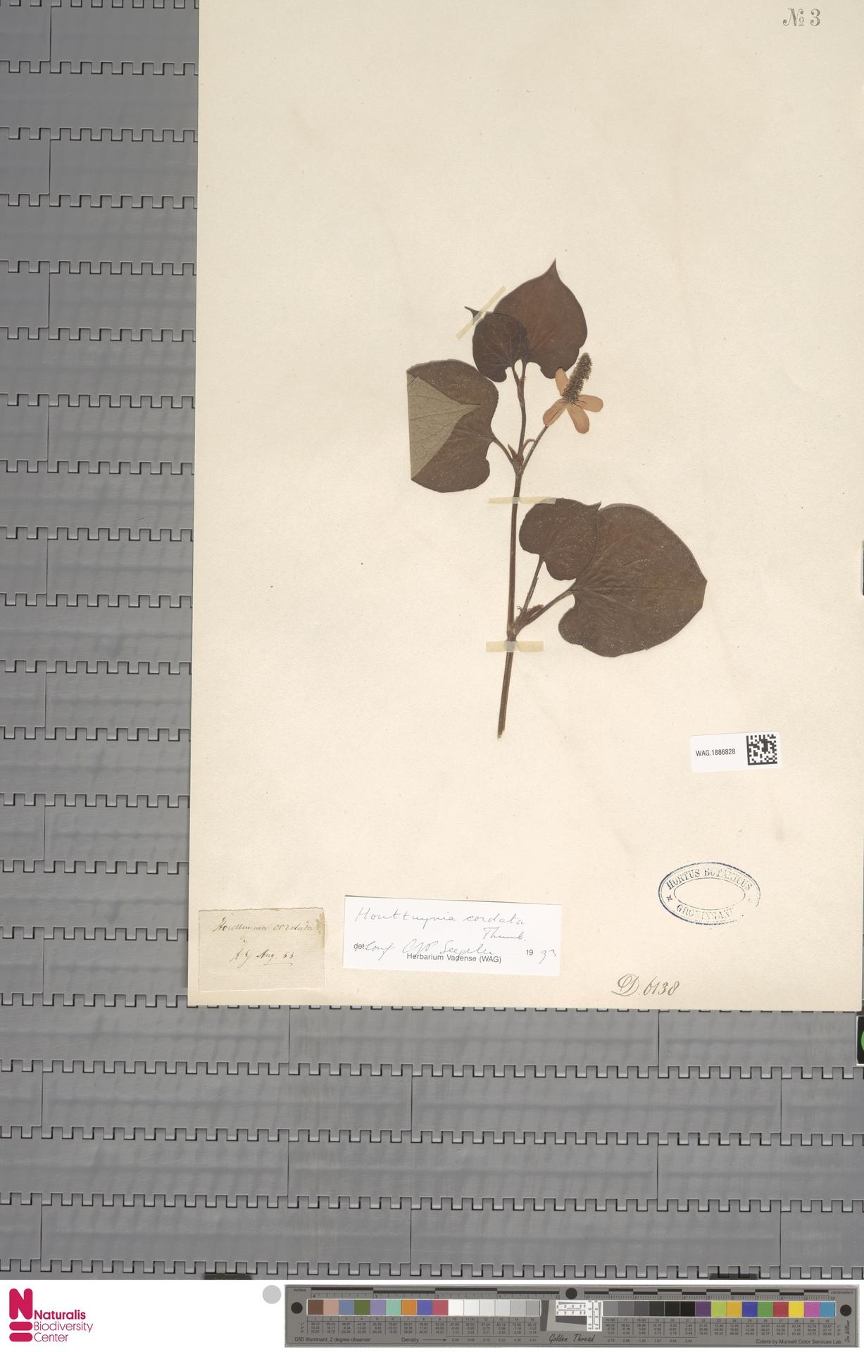 WAG.1886828 | Houttuynia cordata Thunb.