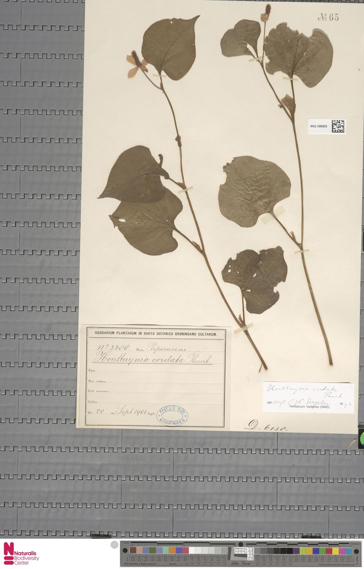 WAG.1886829 | Houttuynia cordata Thunb.