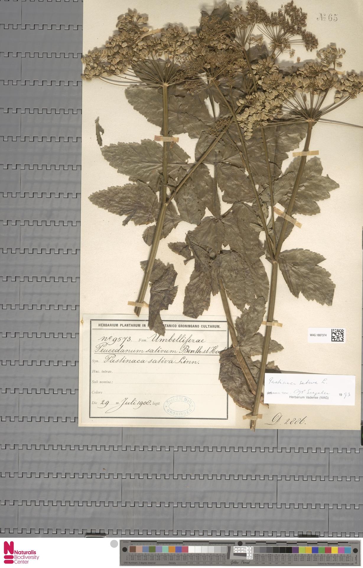 WAG.1887374 | Pastinaca sativa L.