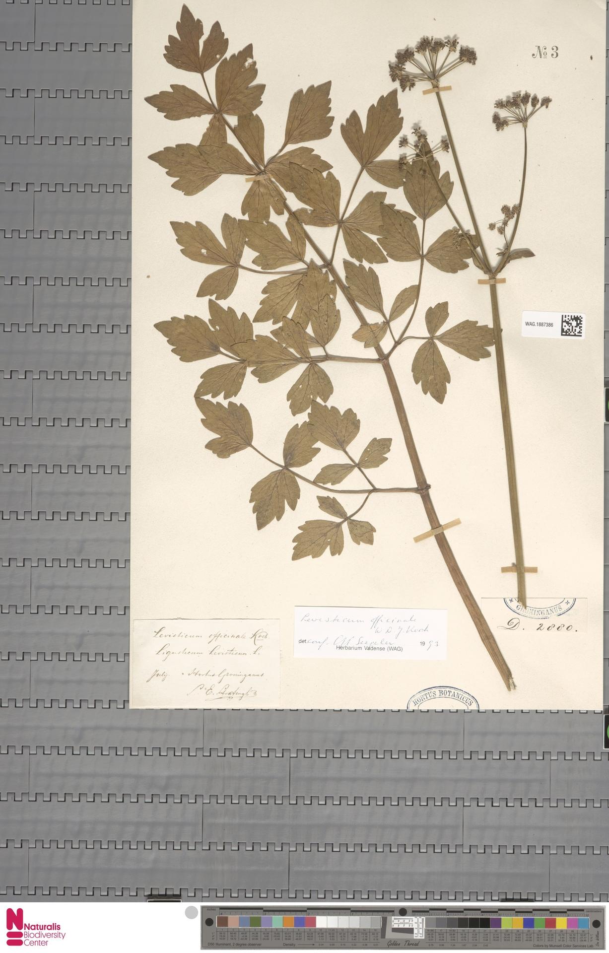 WAG.1887386 | Levisticum officinale W.D.J.Koch
