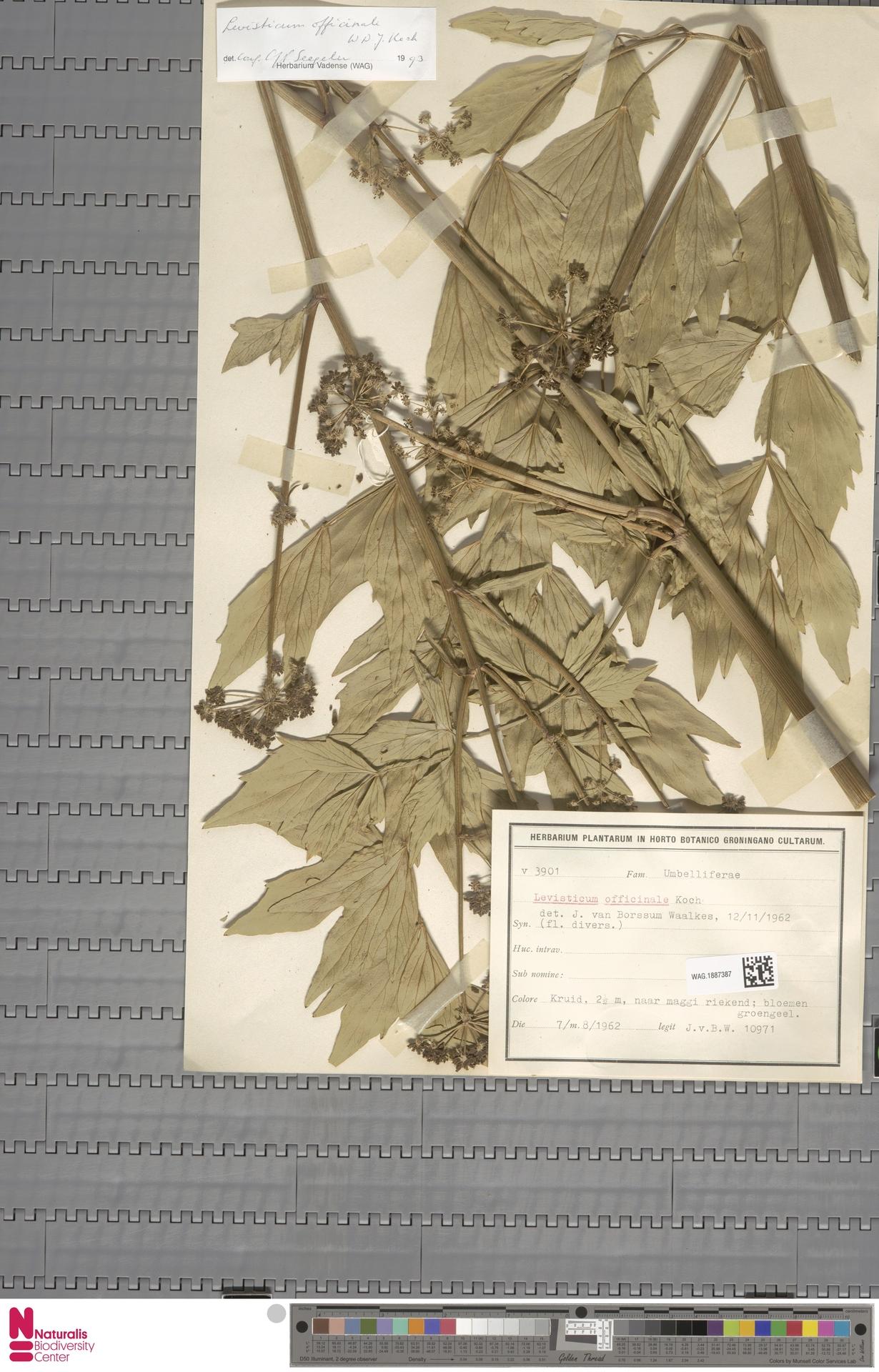 WAG.1887387 | Levisticum officinale W.D.J.Koch