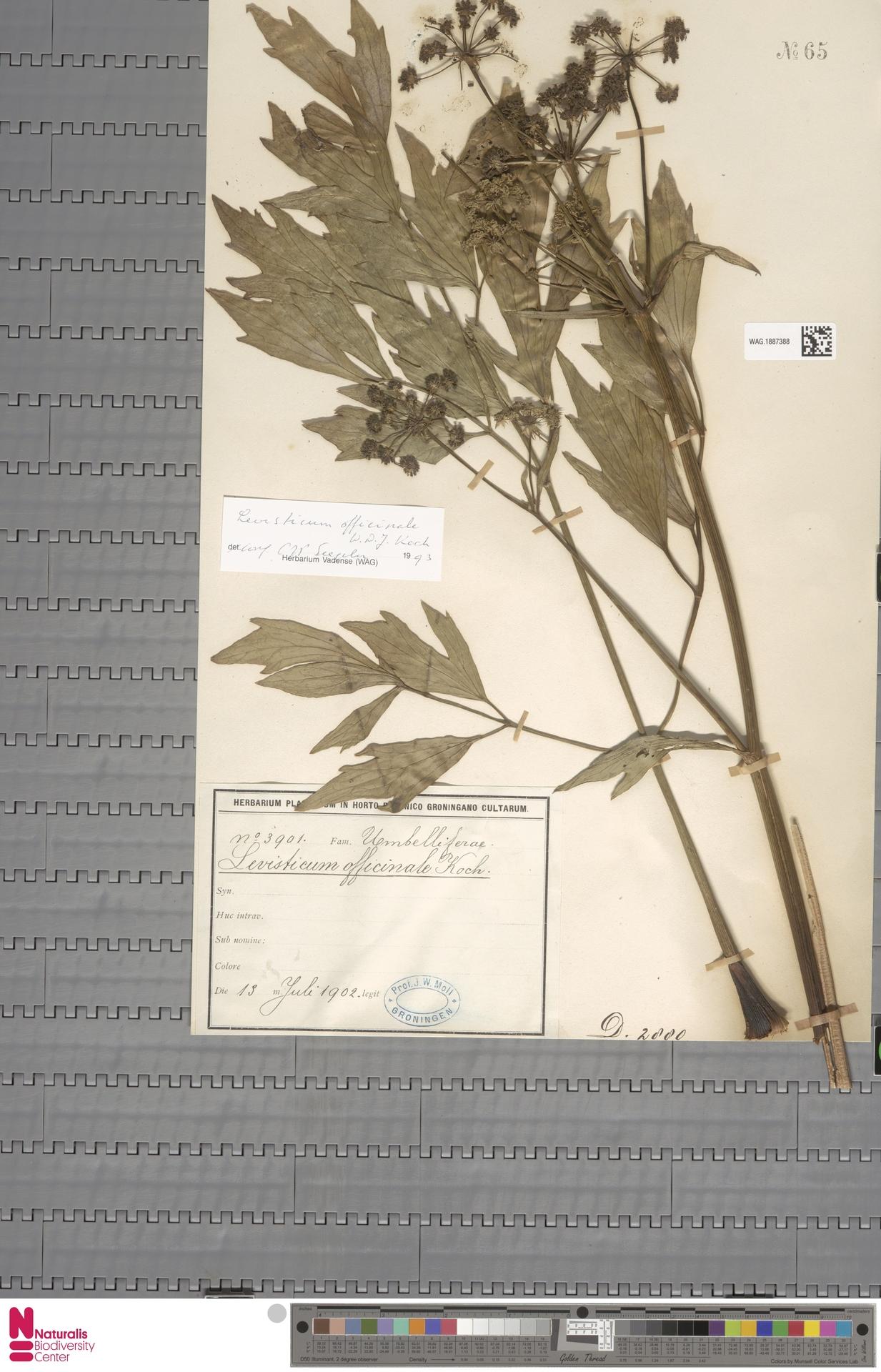 WAG.1887388 | Levisticum officinale W.D.J.Koch