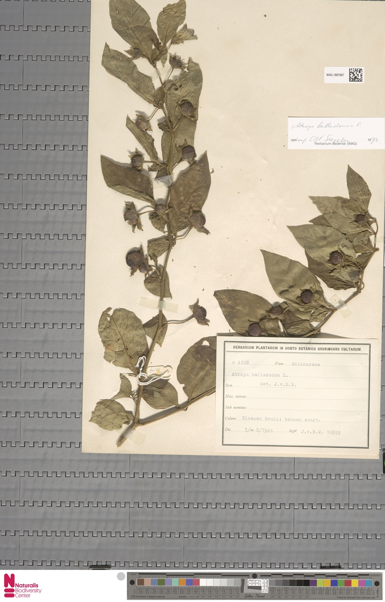 WAG.1887667 | Atropa belladonna L.