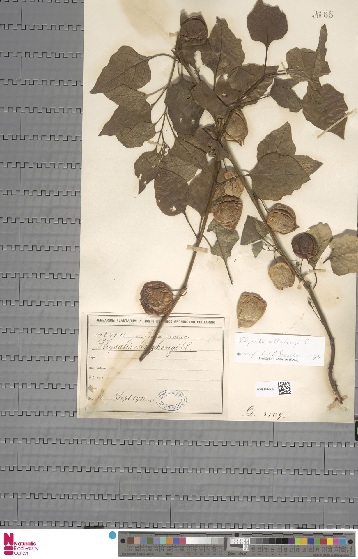 WAG.1887684 | Physalis alkekengi L.