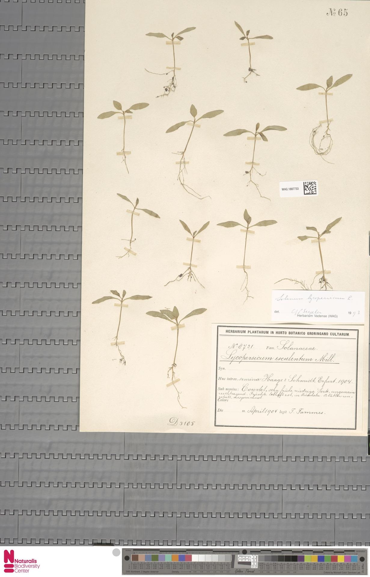 WAG.1887733 | Solanum lycopersicum L.