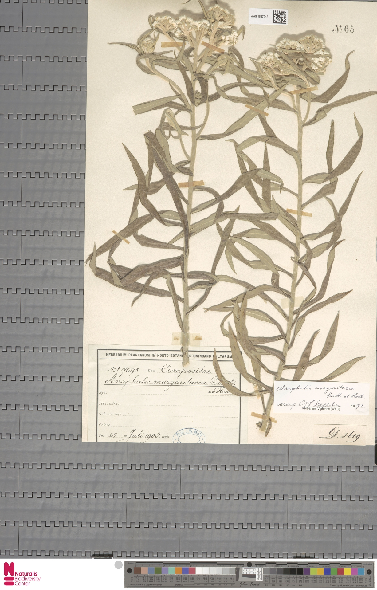 WAG.1887942 | Anaphalis margaritacea (L.) Benth. & Hook.f.