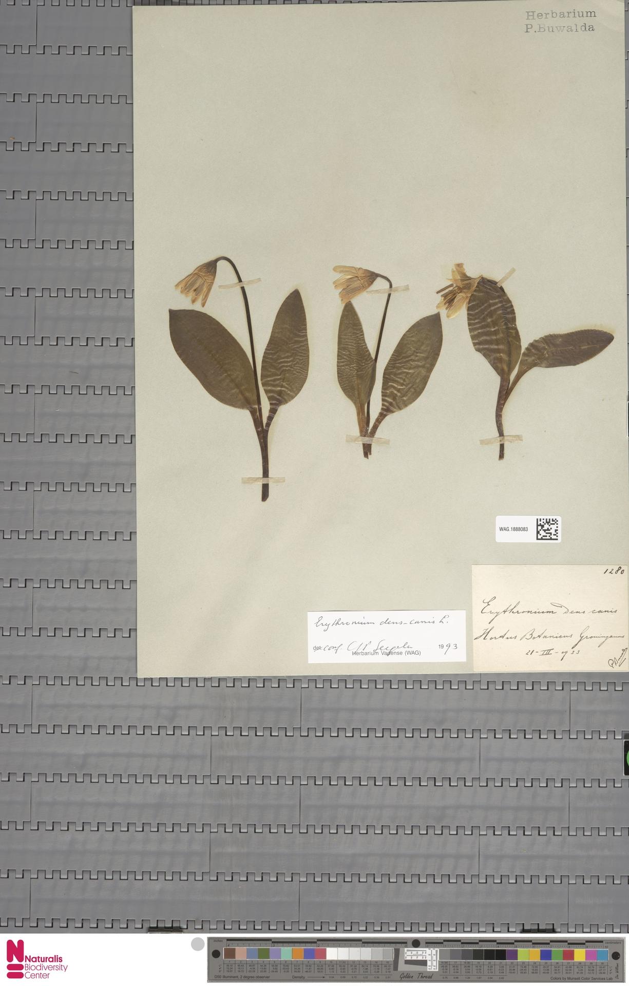 WAG.1888083 | Erythronium dens-canis L.