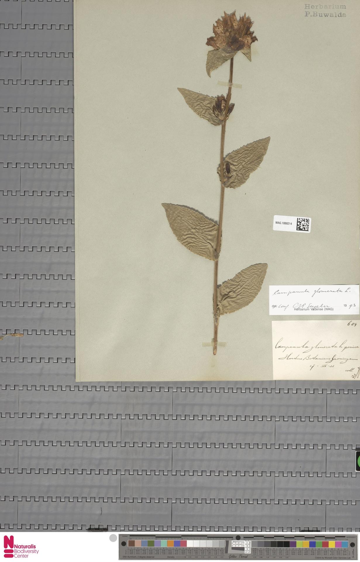 WAG.1888214 | Campanula glomerata L.
